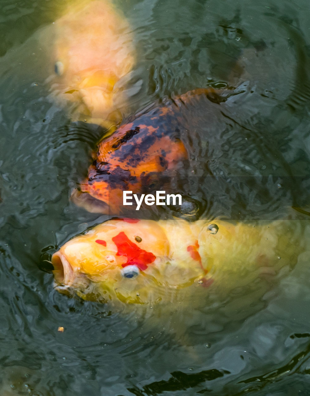 water, swimming, koi carp, fish, pond, animal themes, carp, animals in the wild, waterfront, high angle view, nature, no people, outdoors, rippled, close-up, day, sea life