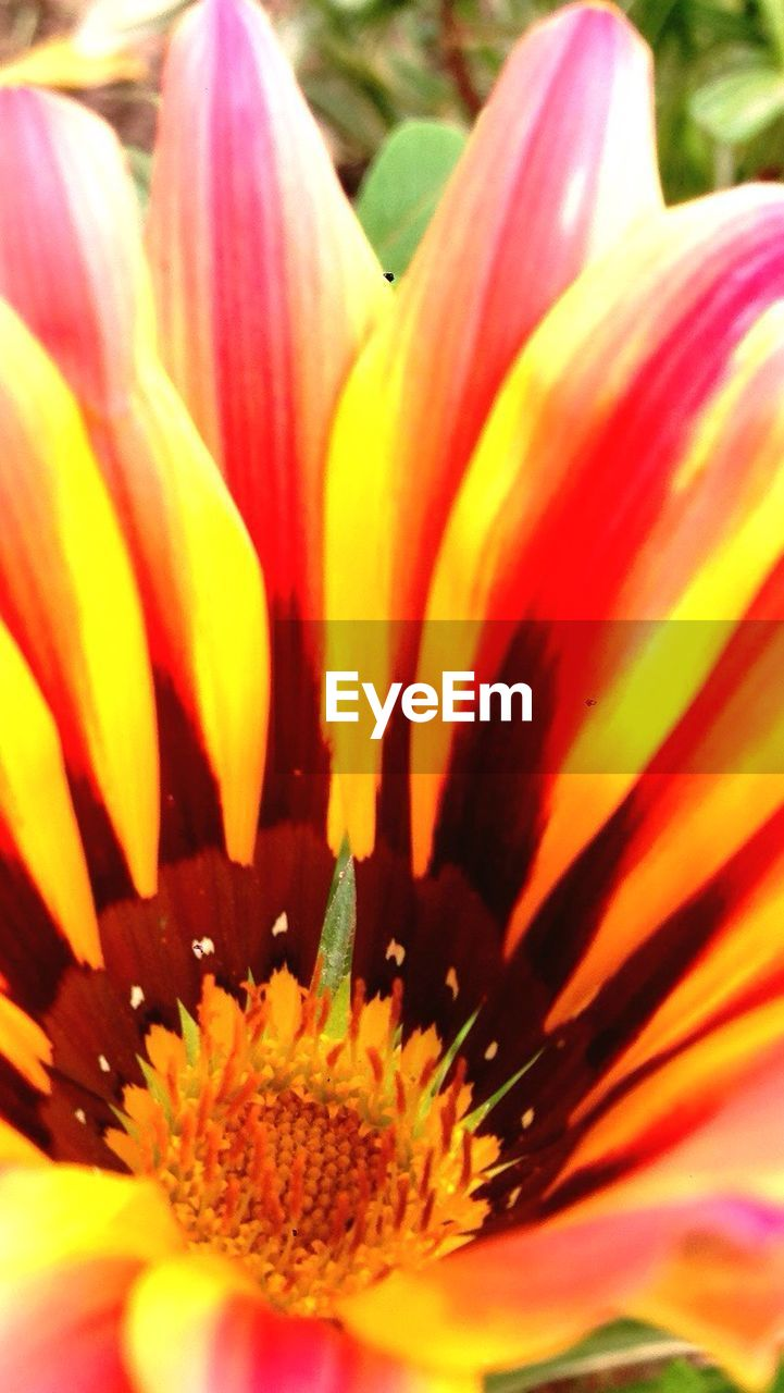 flower, petal, freshness, flower head, beauty in nature, fragility, growth, nature, blooming, pollen, close-up, gazania, no people, pink color, day, plant, stamen, springtime, yellow, outdoors
