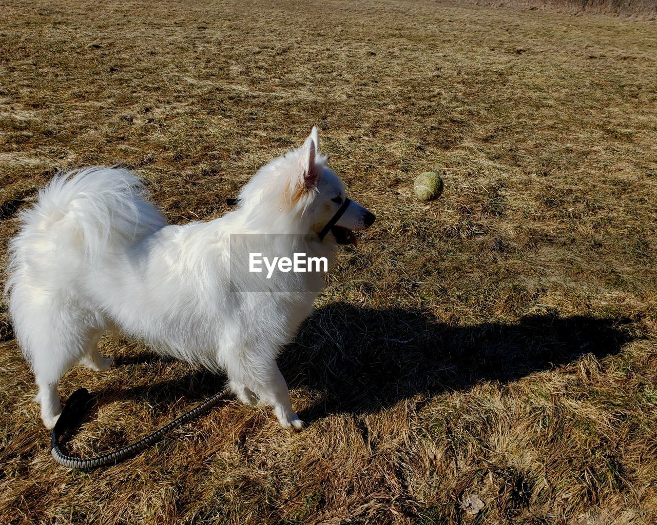 domestic, pets, domestic animals, animal themes, animal, one animal, mammal, vertebrate, dog, canine, field, land, nature, no people, white color, grass, high angle view, sunlight, looking, side view, mouth open