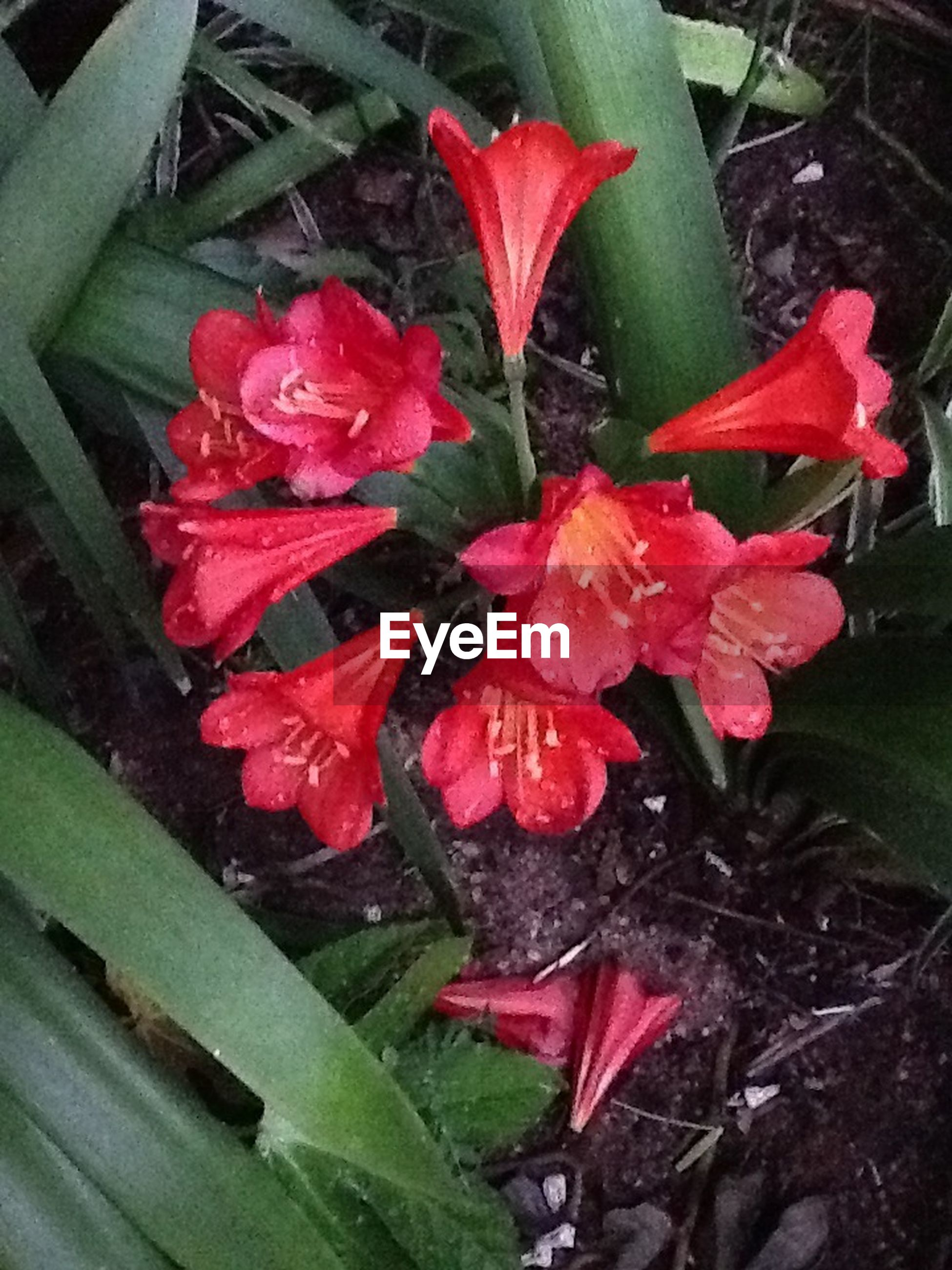 flower, petal, red, fragility, freshness, flower head, growth, beauty in nature, plant, leaf, close-up, blooming, nature, high angle view, in bloom, day, wet, outdoors, field, no people