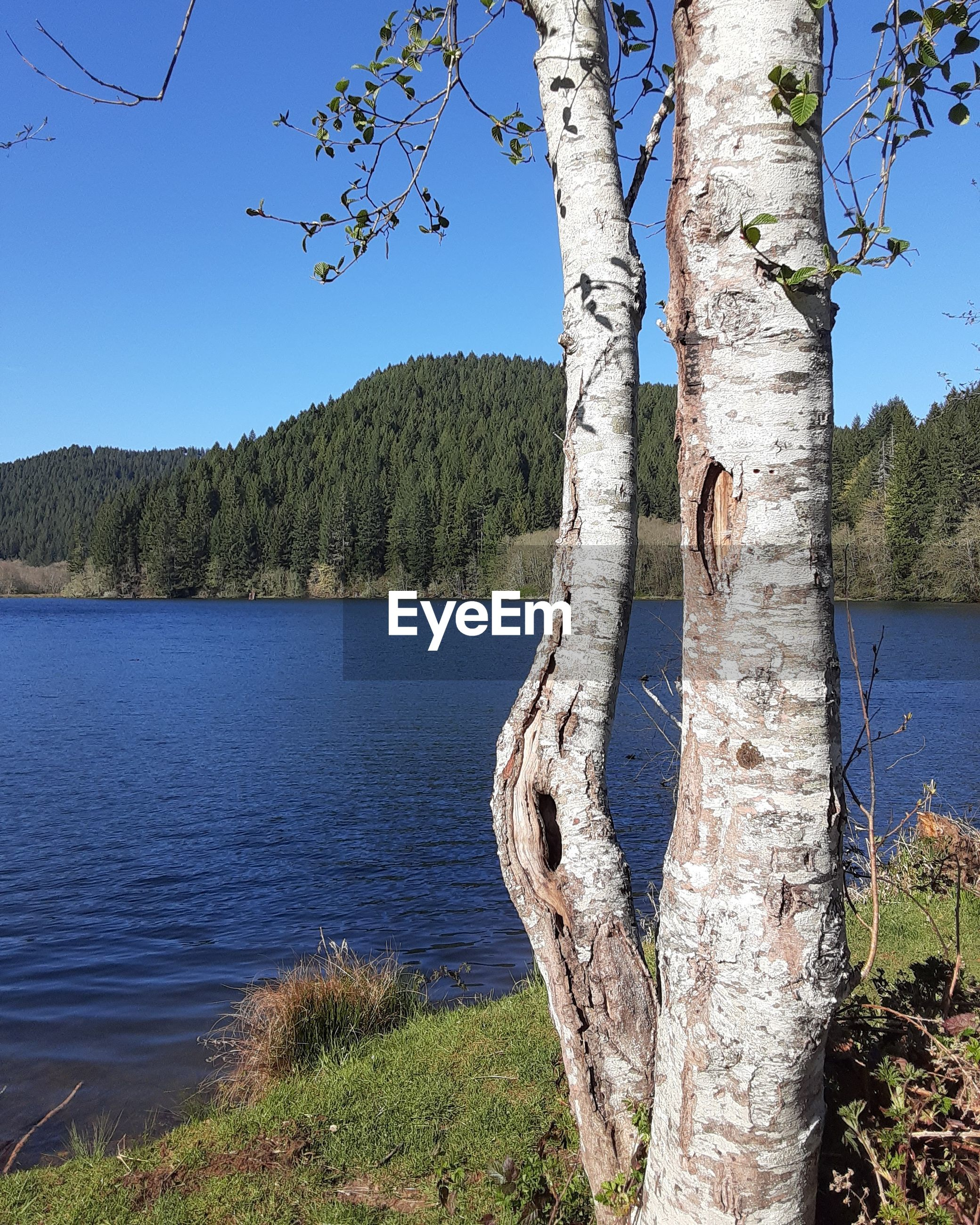 SCENIC VIEW OF LAKE BY TREE AGAINST CLEAR SKY