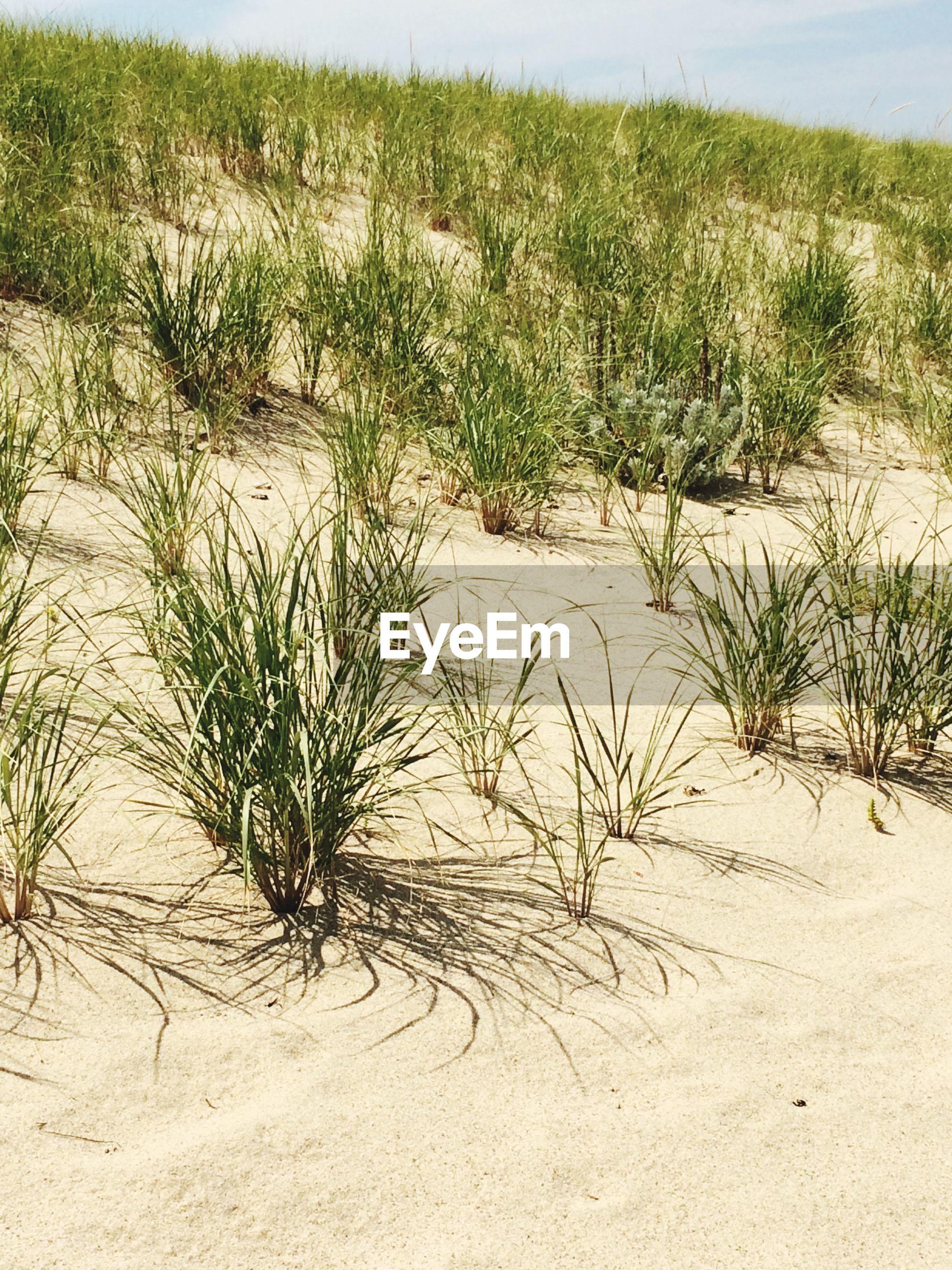 Grass growing at beach
