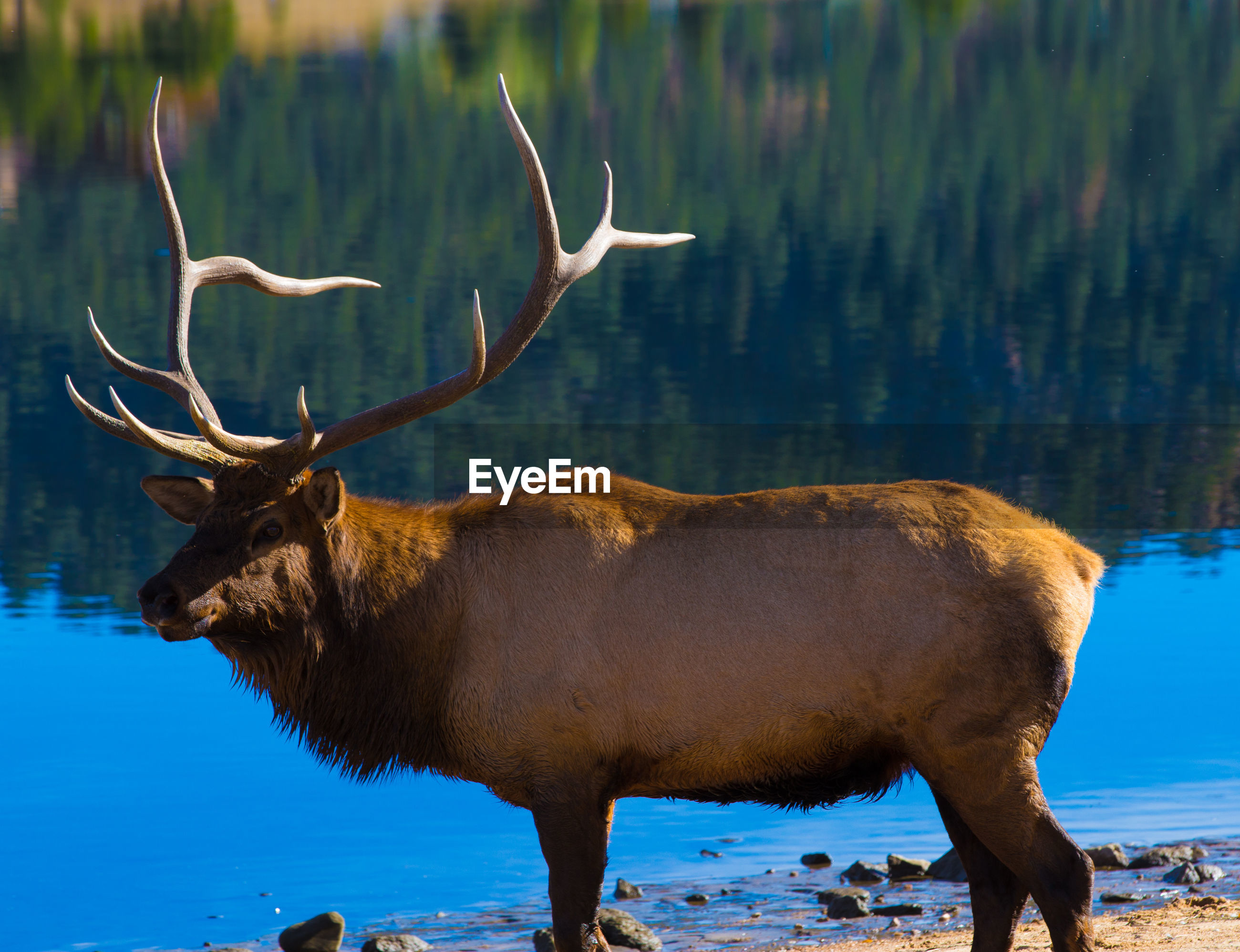 Stag standing by lake