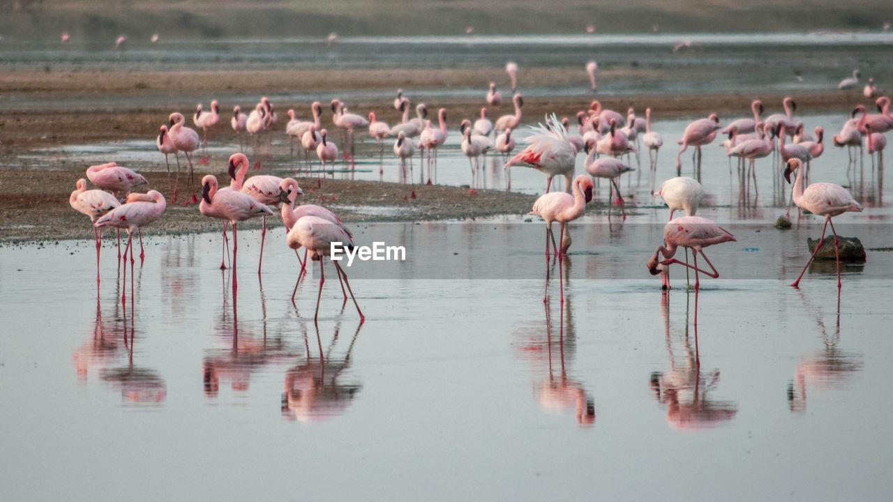 A flurry of flamingos at lake magadi, rift valley, kenya