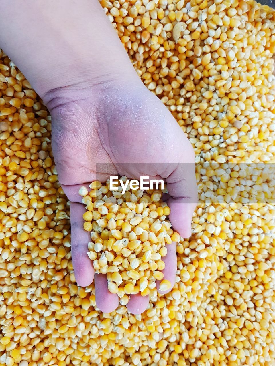 Cropped hand of woman holding corns