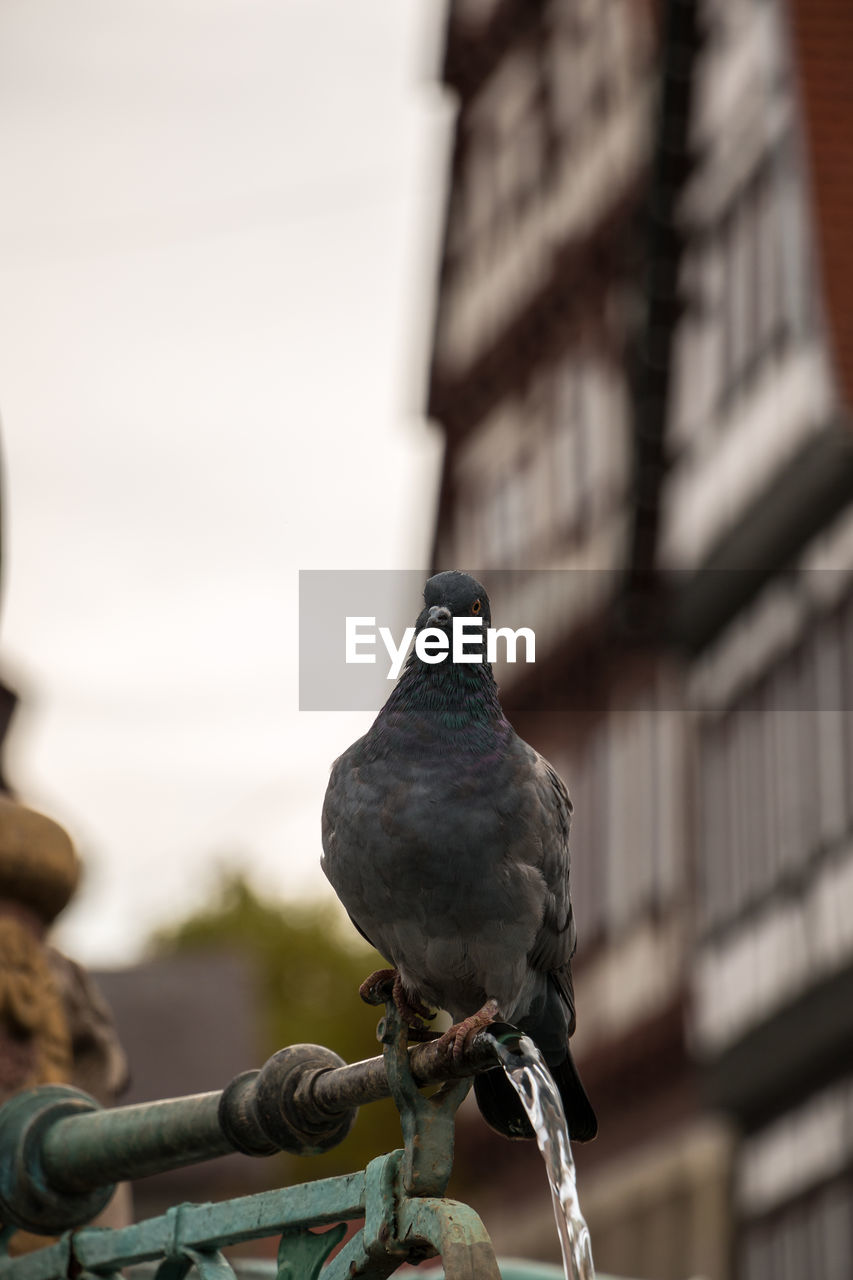 perching, vertebrate, bird, animal, animal themes, one animal, focus on foreground, animal wildlife, animals in the wild, day, no people, architecture, pigeon, built structure, low angle view, outdoors, close-up, building exterior, metal, zoology