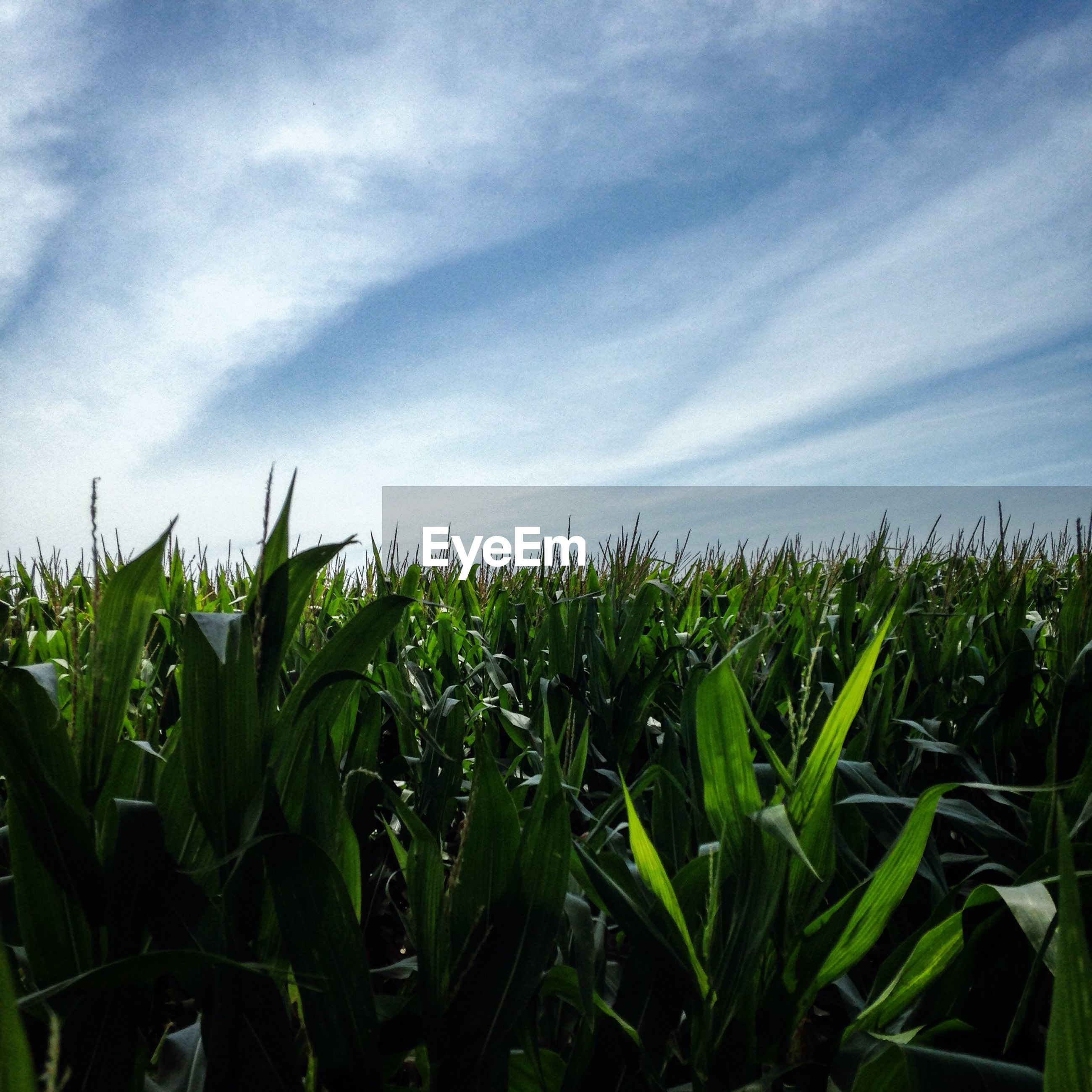 High angle view of crops growing on field against cloudy sky