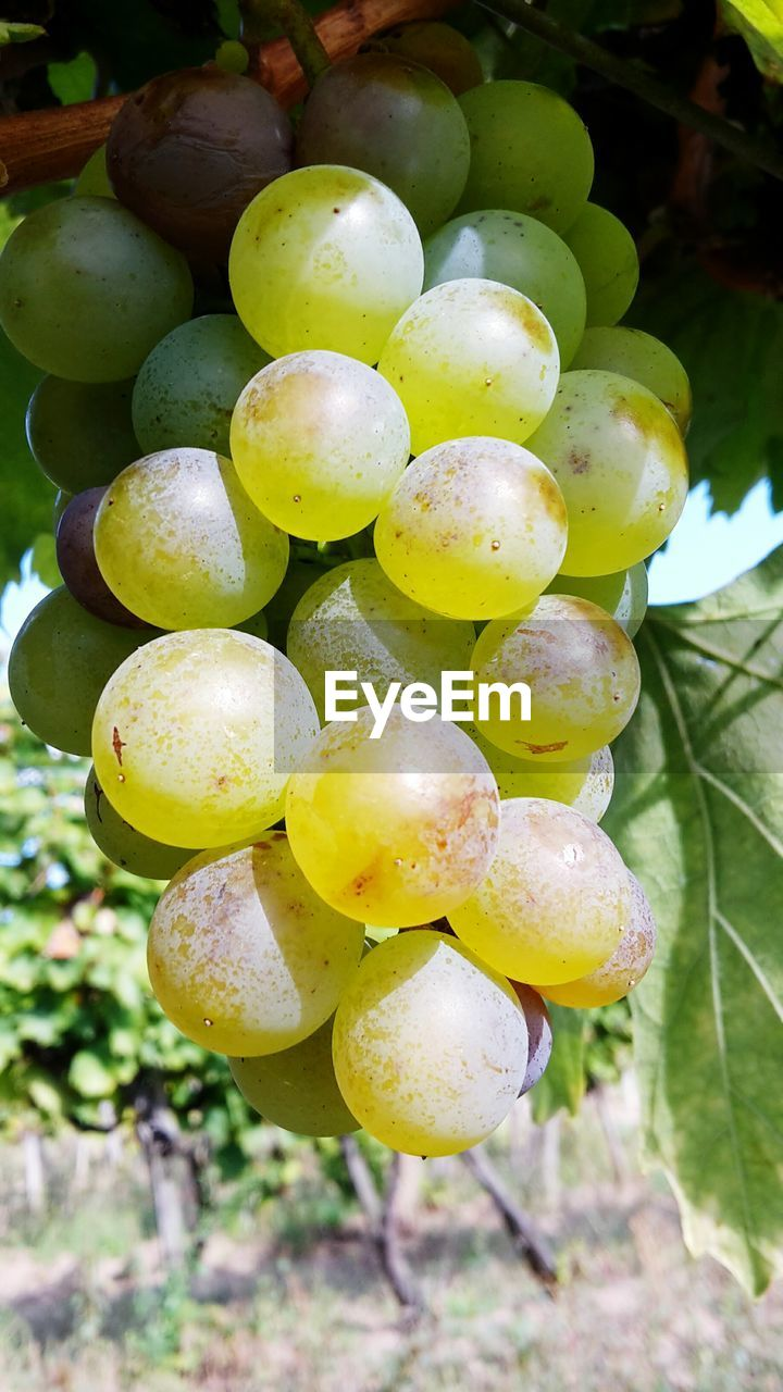 growth, fruit, food and drink, green color, no people, tree, day, food, grape, outdoors, close-up, nature, healthy eating, focus on foreground, leaf, freshness, plant