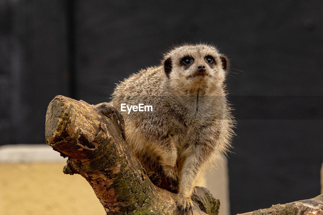 animal, animal wildlife, animal themes, animals in the wild, one animal, focus on foreground, mammal, no people, meerkat, vertebrate, day, nature, close-up, outdoors, looking at camera, tree, portrait, wood - material, looking, whisker