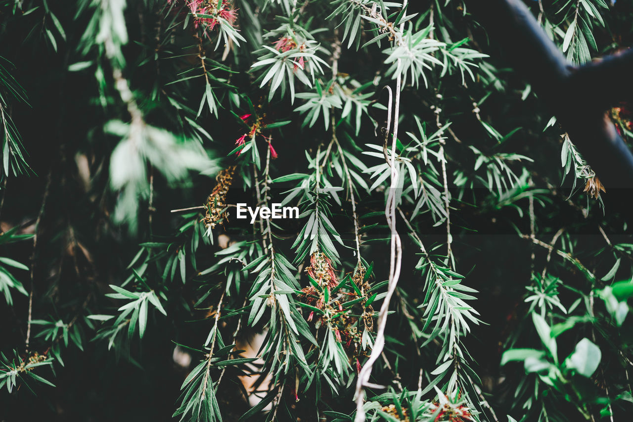growth, plant, green color, beauty in nature, tree, close-up, nature, no people, day, leaf, plant part, focus on foreground, tranquility, outdoors, branch, freshness, selective focus, pine tree, needle - plant part, coniferous tree, fir tree