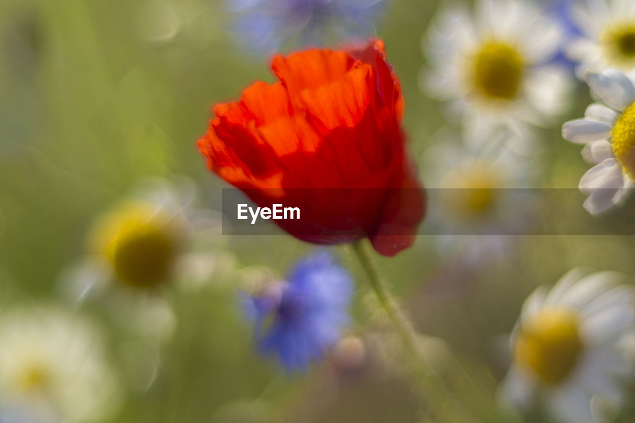Close-up of poppy and defocused daisies blooming in park