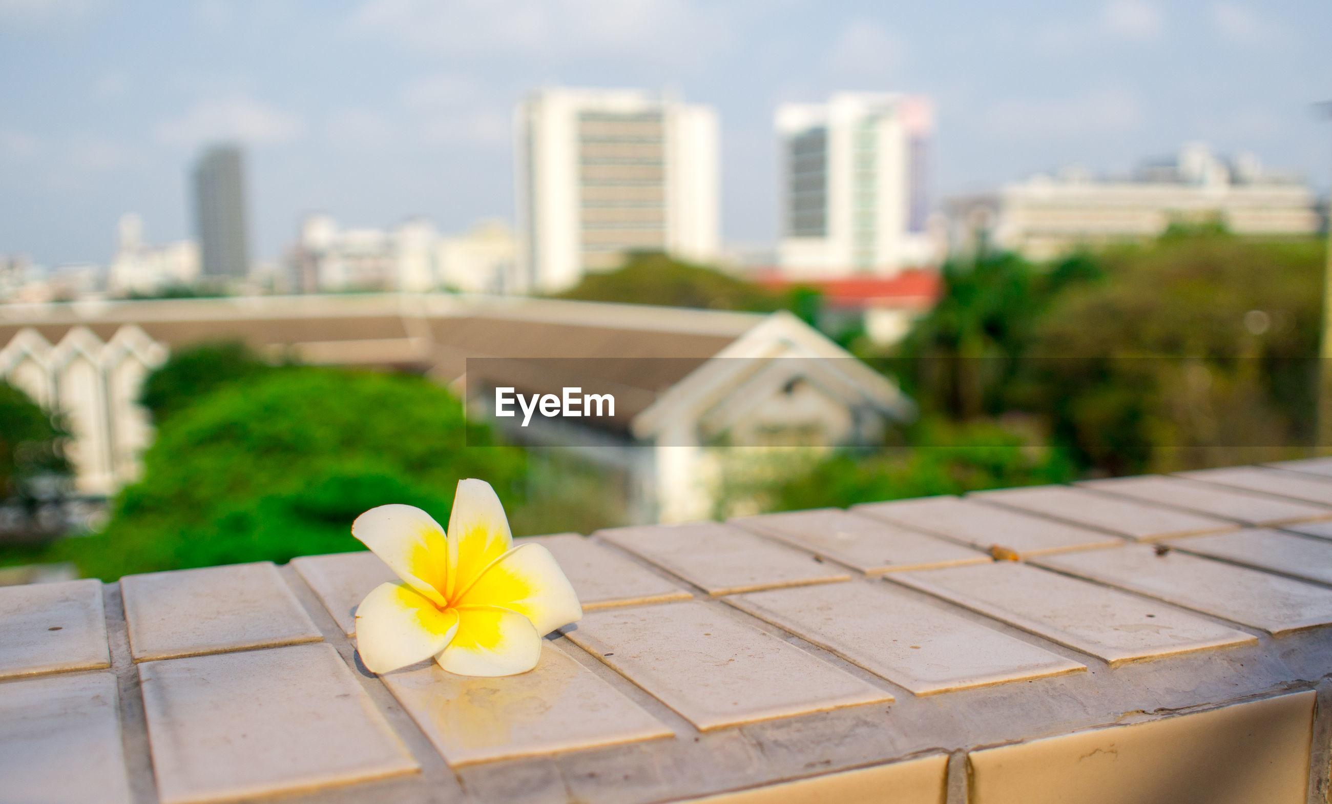 Close-up of frangipani on retaining wall