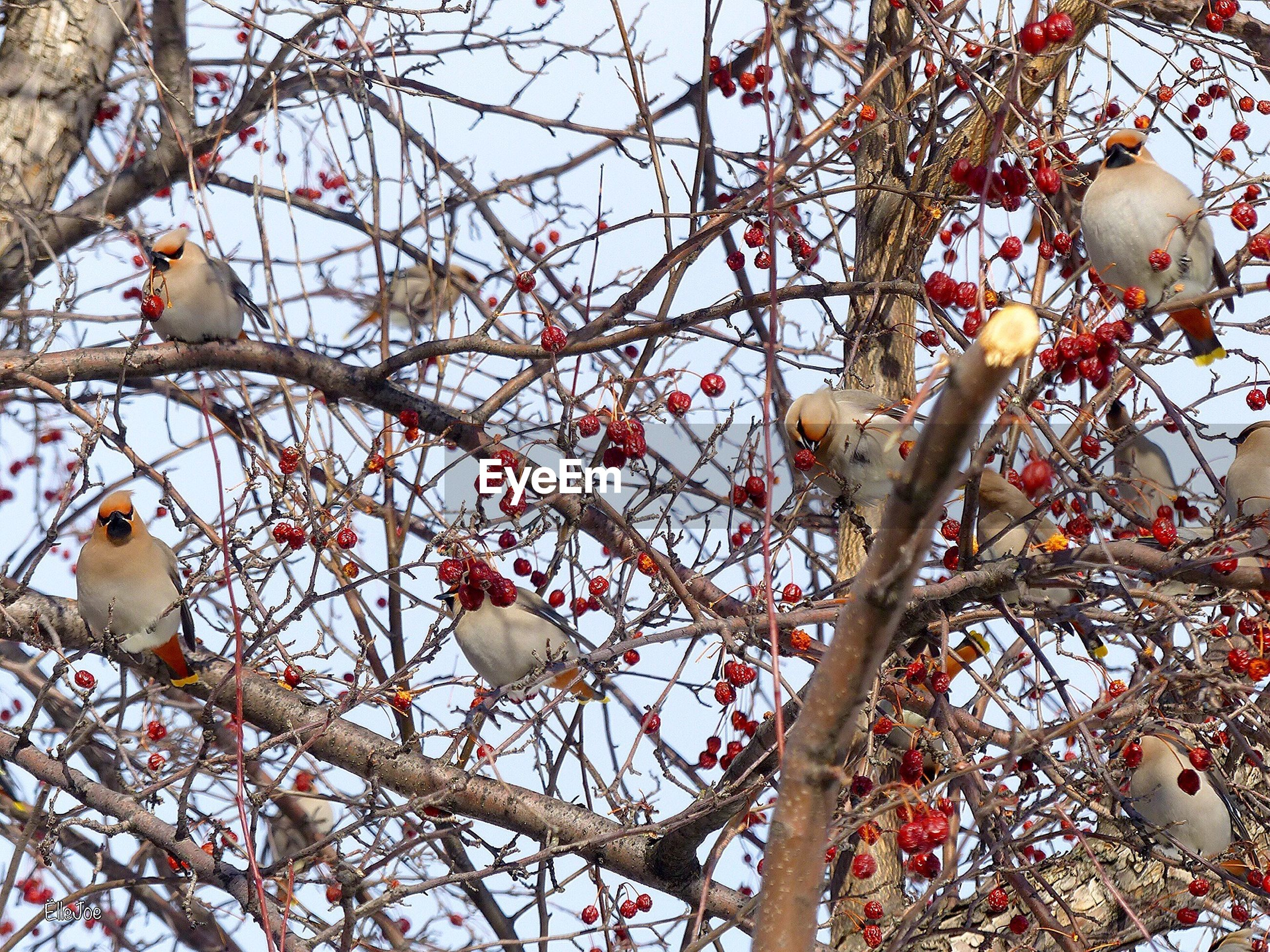 Low angle view of birds perching amidst fruits on branch