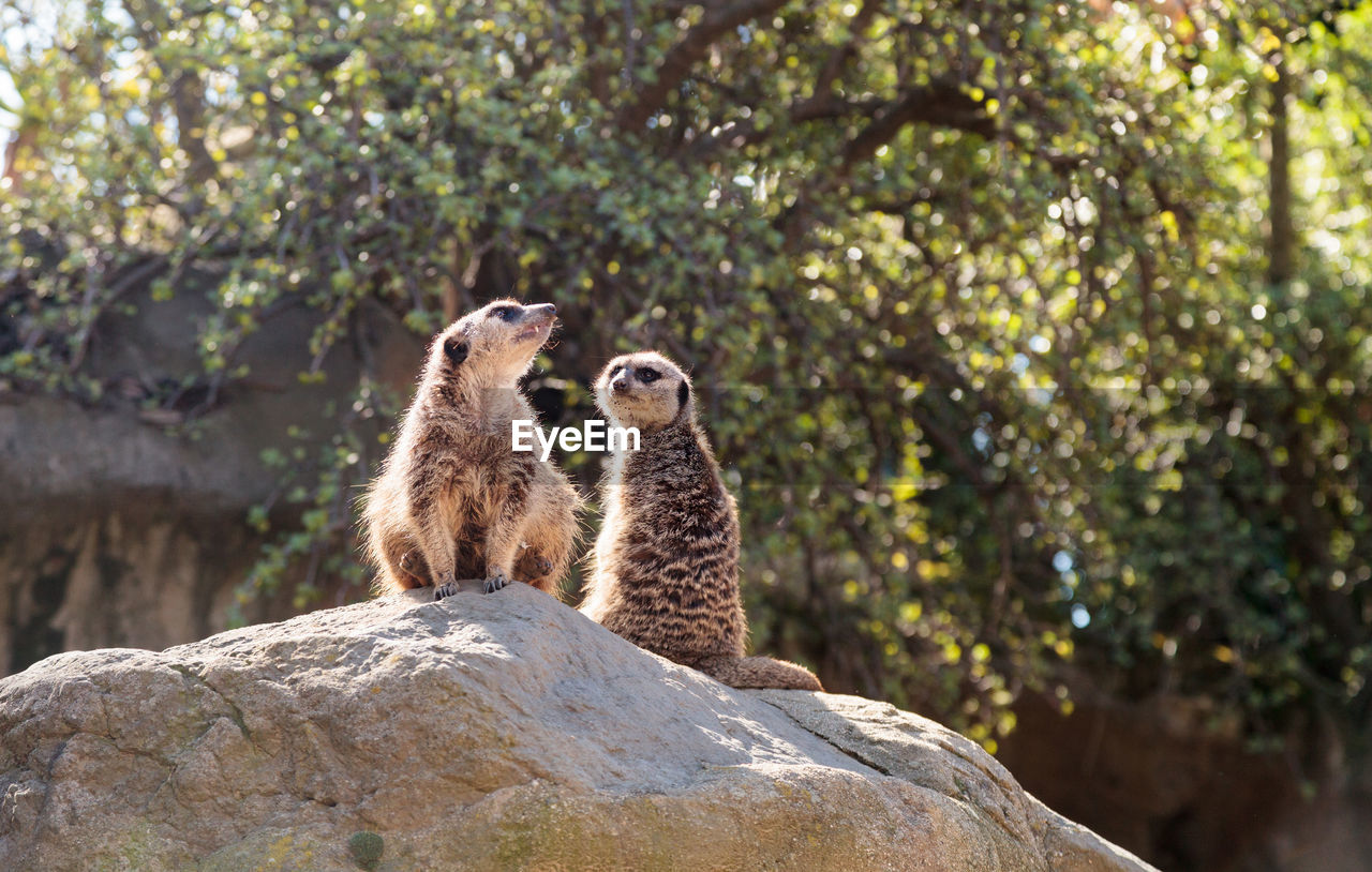 animal, animal wildlife, animal themes, animals in the wild, rock, rock - object, solid, meerkat, group of animals, nature, plant, mammal, tree, vertebrate, no people, focus on foreground, two animals, day, looking, outdoors