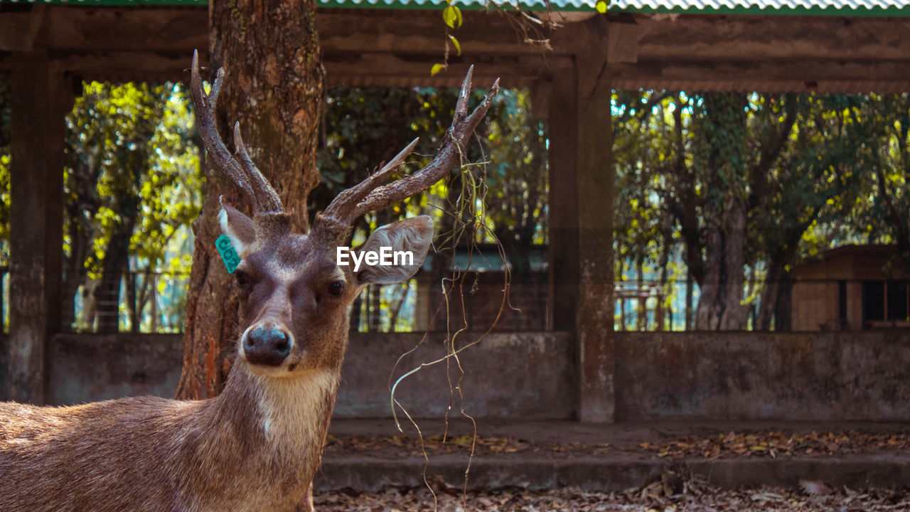 animal, mammal, animal themes, one animal, tree, animal wildlife, vertebrate, focus on foreground, domestic animals, plant, day, no people, nature, animals in the wild, deer, portrait, looking at camera, livestock, boundary, fence, herbivorous, outdoors, animal head, zoo