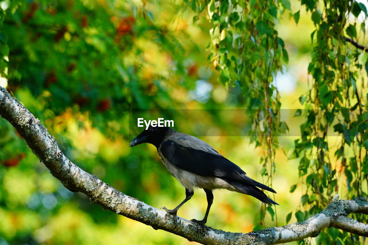 animals in the wild, animal themes, bird, one animal, animal, animal wildlife, tree, vertebrate, plant, branch, perching, focus on foreground, day, no people, nature, outdoors, green color, growth, beauty in nature, looking