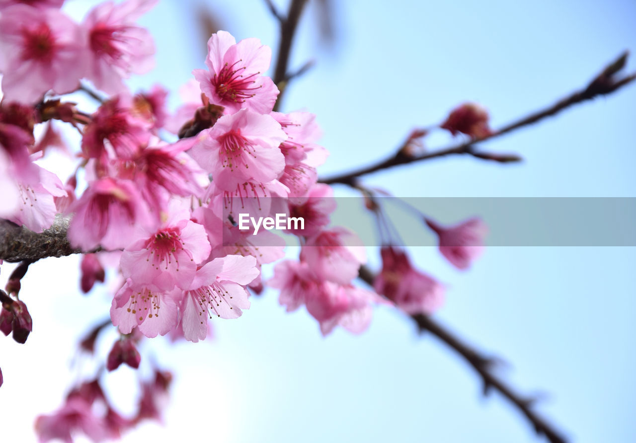 flower, flowering plant, plant, fragility, freshness, growth, beauty in nature, vulnerability, pink color, blossom, springtime, close-up, tree, nature, petal, low angle view, branch, no people, cherry blossom, day, flower head, cherry tree, outdoors, plum blossom, pollen, spring