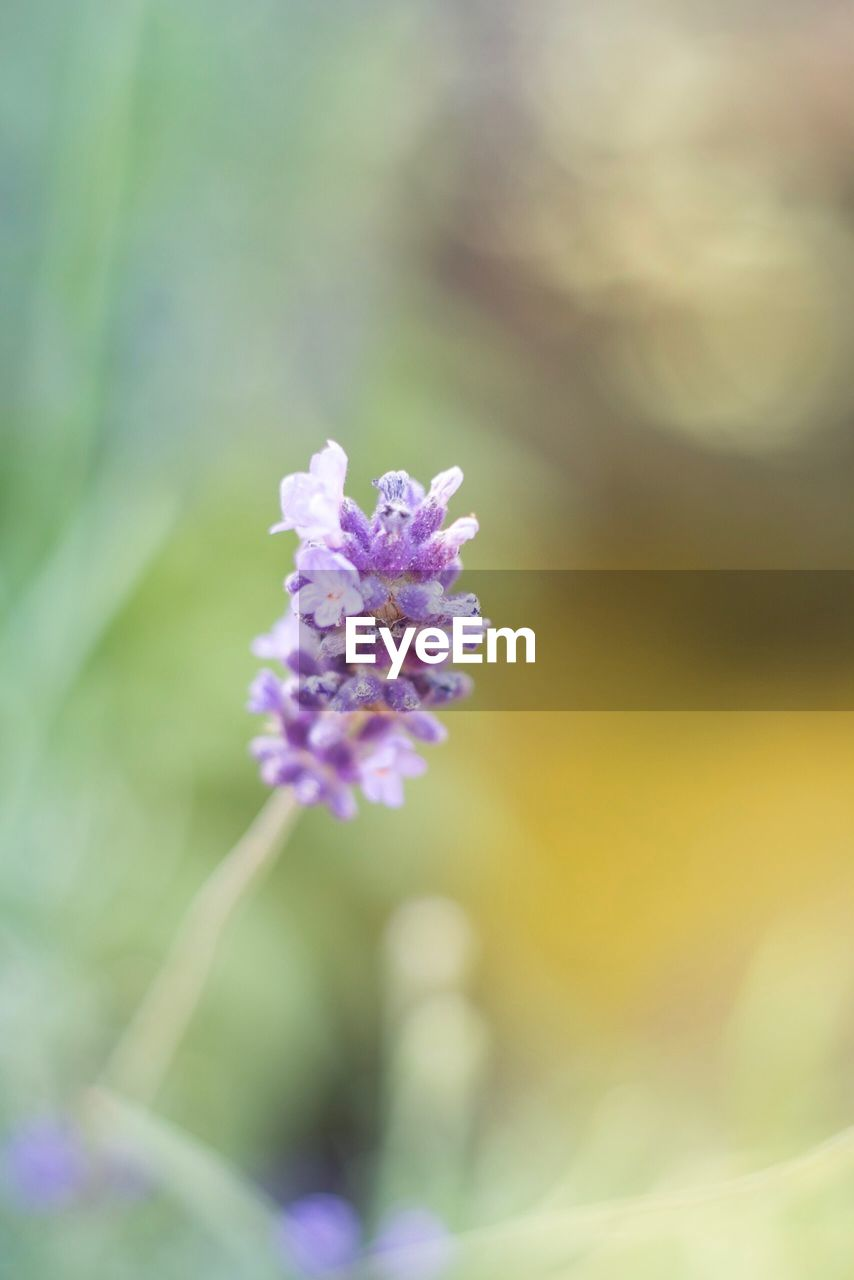 flower, flowering plant, plant, beauty in nature, freshness, fragility, vulnerability, growth, purple, petal, inflorescence, close-up, flower head, nature, no people, day, selective focus, outdoors, focus on foreground, tranquility