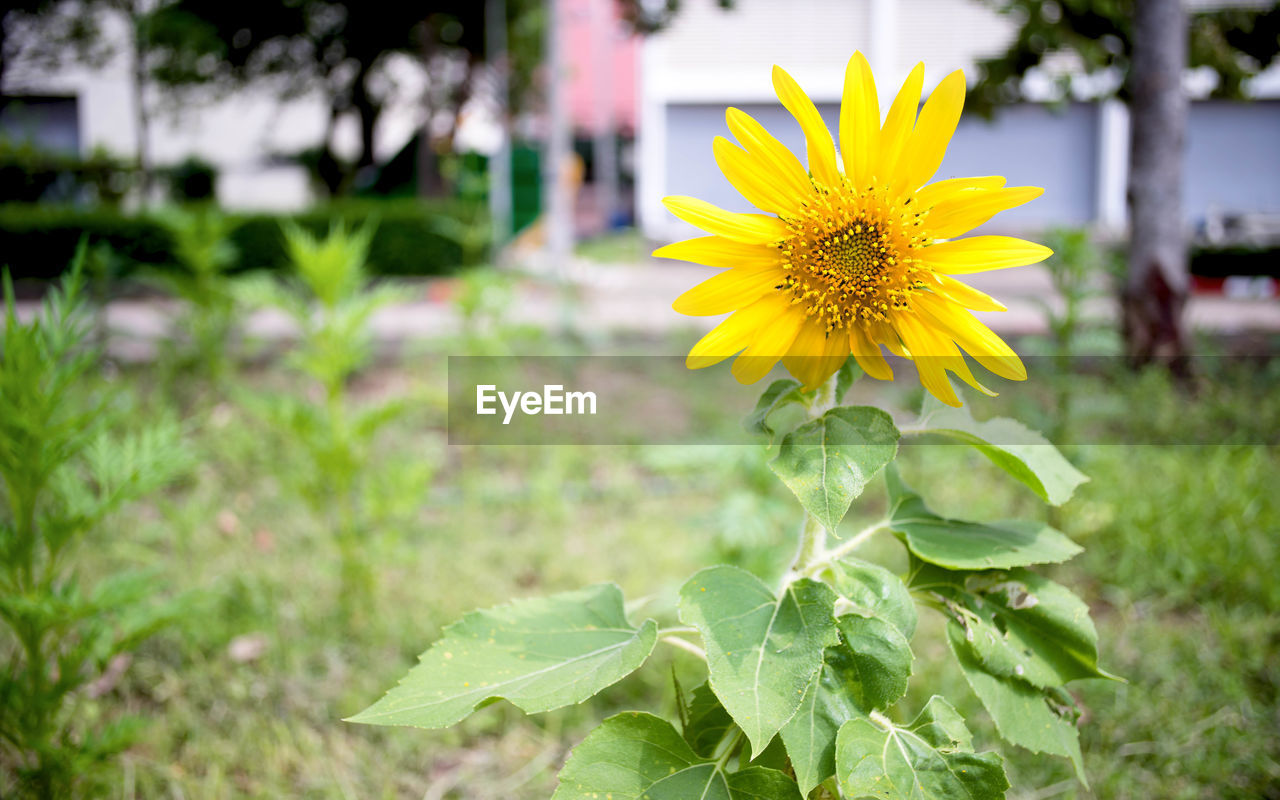 flower, yellow, nature, growth, freshness, plant, outdoors, beauty in nature, fragility, sunflower, petal, flower head, day, focus on foreground, no people, close-up, blooming, leaf