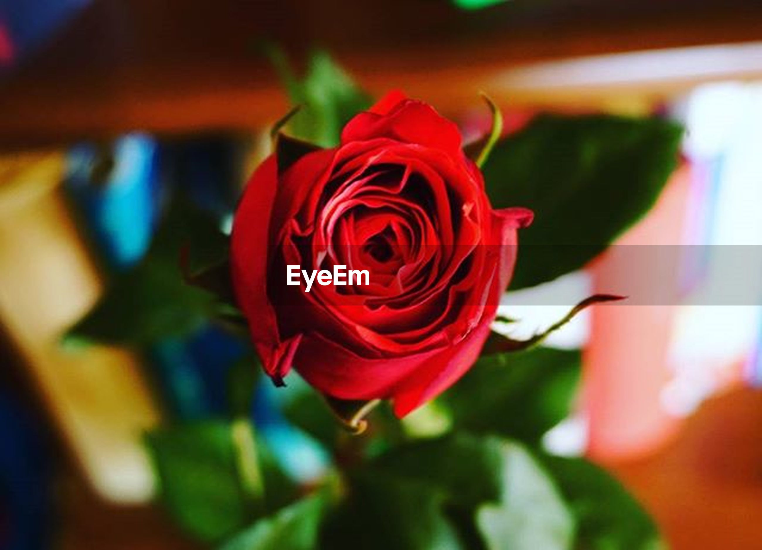 flower, rose - flower, close-up, red, no people, petal, focus on foreground, fragility, nature, flower head, outdoors, beauty in nature, freshness, day