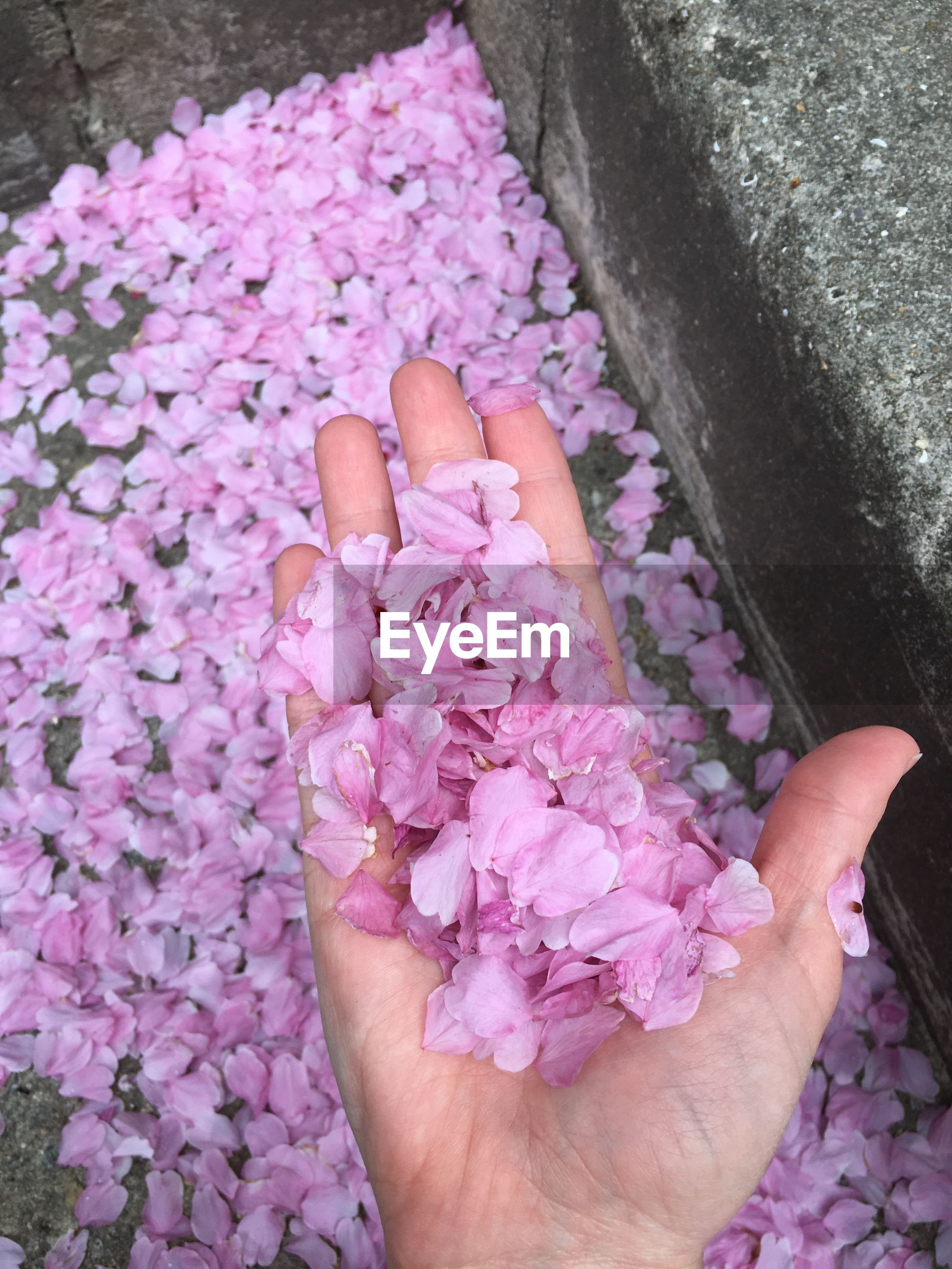 Cropped hand of woman holding pink petals