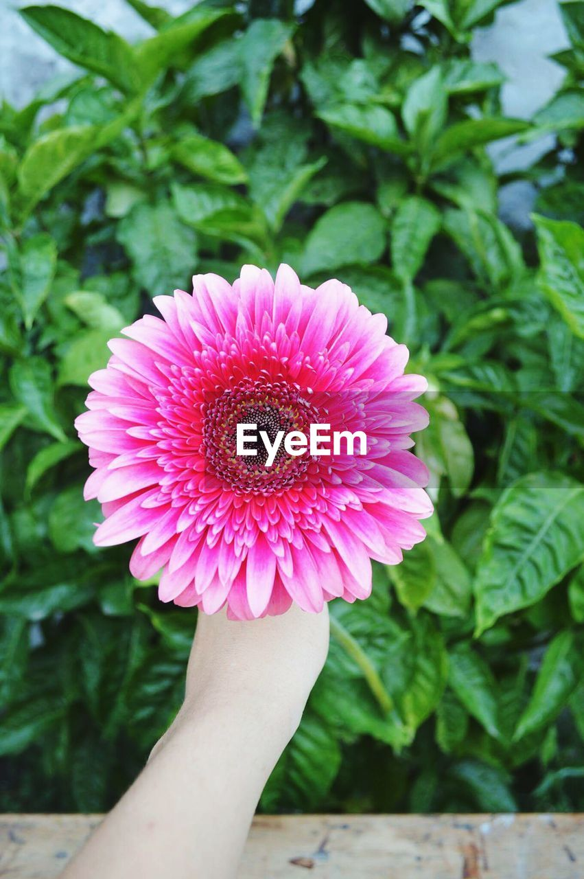 human body part, human hand, flower, beauty in nature, nature, one person, fragility, growth, petal, pink color, freshness, real people, holding, plant, day, flower head, close-up, outdoors, people