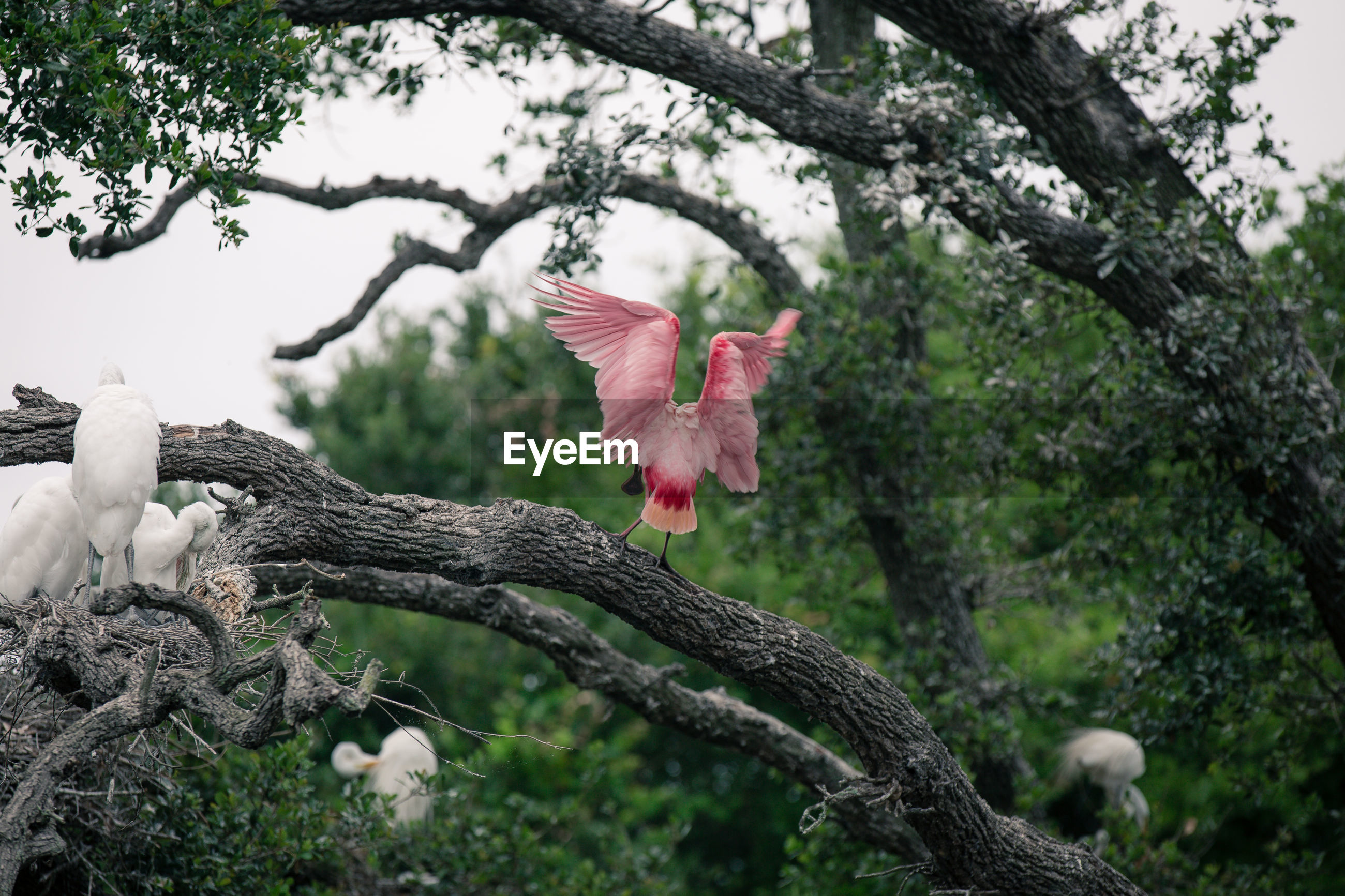 Low angle view of roseate spoonbills perching on branch in forest
