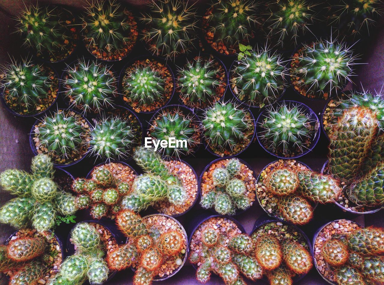 succulent plant, cactus, potted plant, plant, growth, no people, full frame, green color, arrangement, in a row, spiked, beauty in nature, day, thorn, large group of objects, backgrounds, abundance, botany, close-up, nature, outdoors, plant nursery