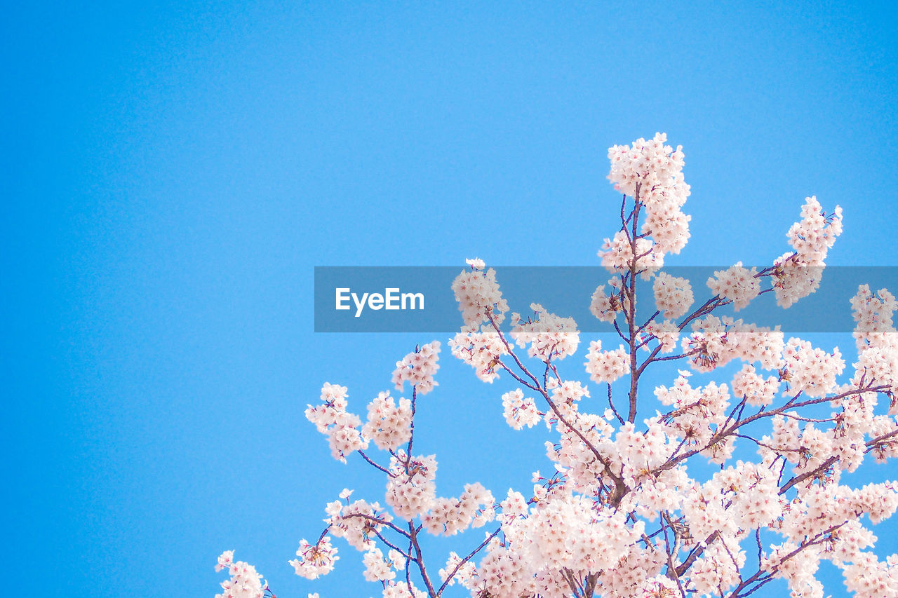 low angle view, sky, blue, fragility, plant, flowering plant, beauty in nature, flower, nature, tree, blossom, vulnerability, growth, branch, springtime, day, copy space, clear sky, cherry blossom, freshness, no people, cherry tree, outdoors, spring