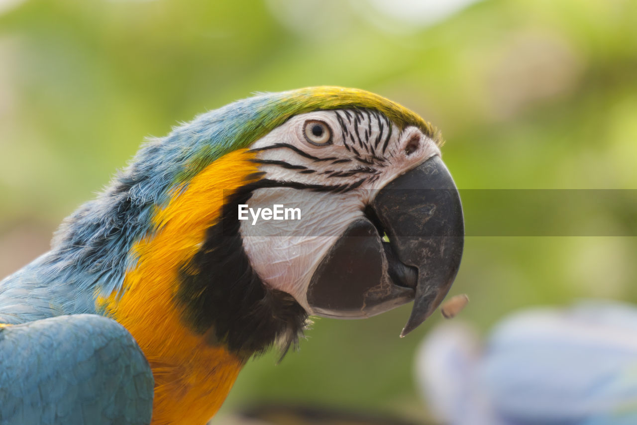 animal, animal themes, bird, animal wildlife, vertebrate, animals in the wild, macaw, parrot, focus on foreground, one animal, close-up, beak, animal body part, gold and blue macaw, no people, day, animal head, nature, outdoors, yellow, animal eye