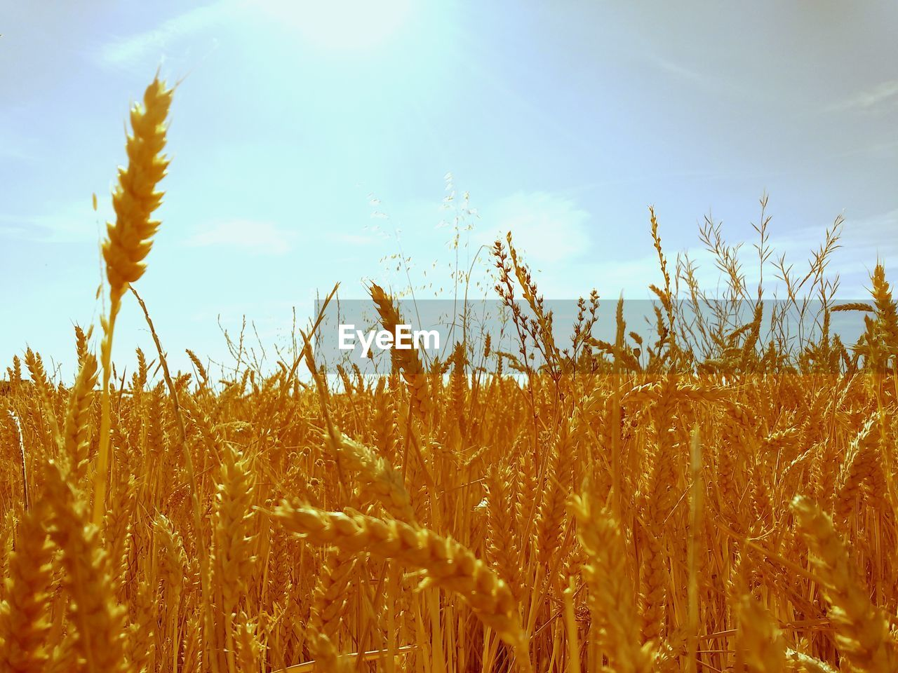 growth, field, nature, cereal plant, agriculture, tranquility, tranquil scene, plant, beauty in nature, crop, wheat, no people, day, outdoors, ear of wheat, sky, rural scene, close-up, landscape, scenics, freshness