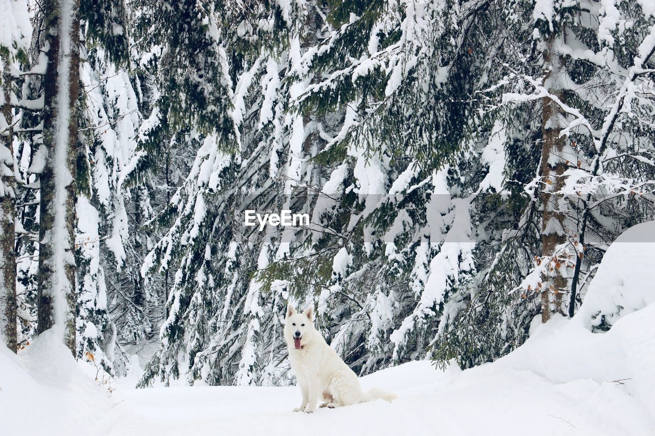 Portrait of dog sticking out tongue while sitting on snow covered field