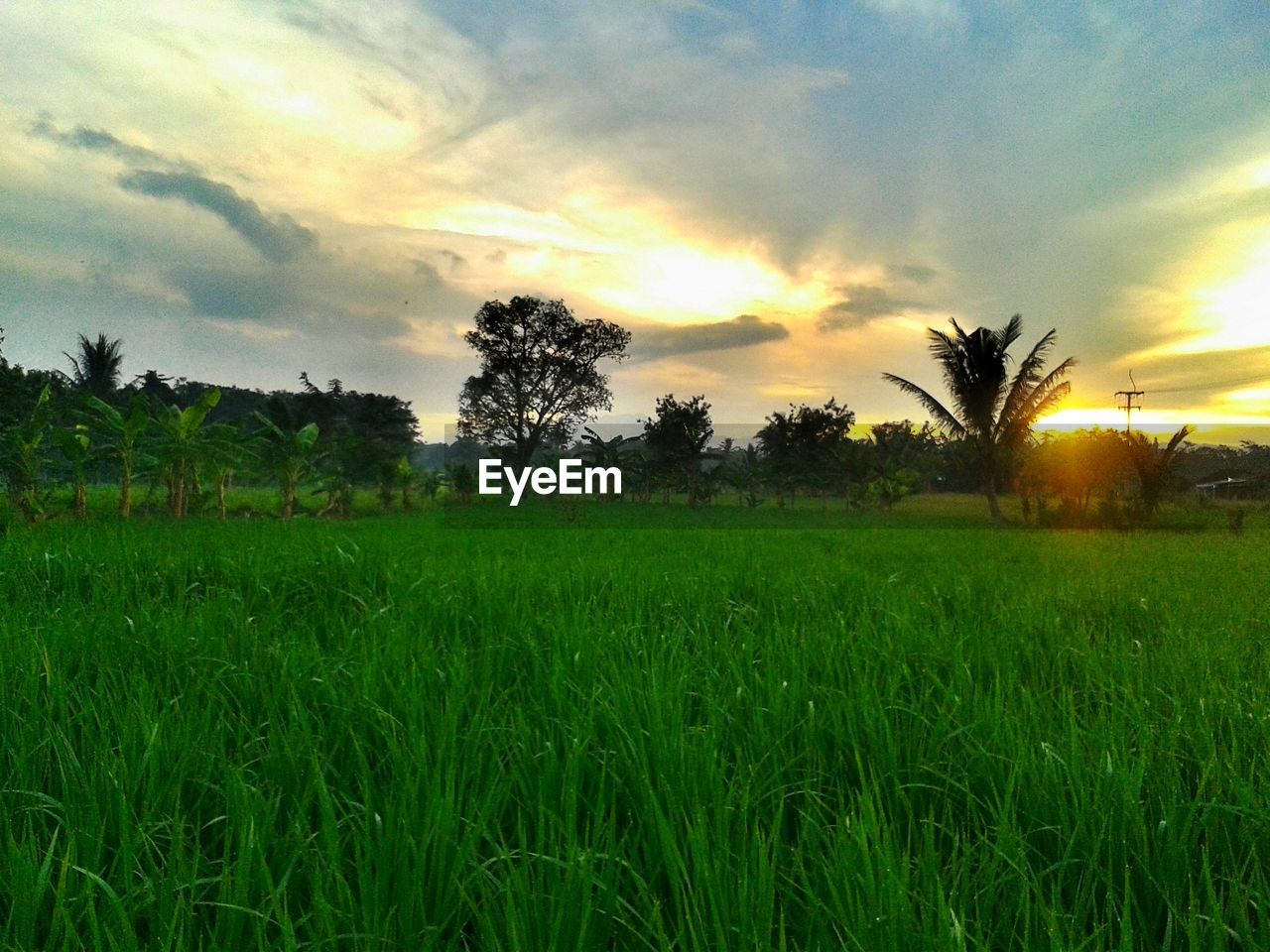 nature, field, landscape, grass, agriculture, sky, sunset, beauty in nature, growth, tranquility, tree, tranquil scene, no people, scenics, rural scene, outdoors, rice paddy, day