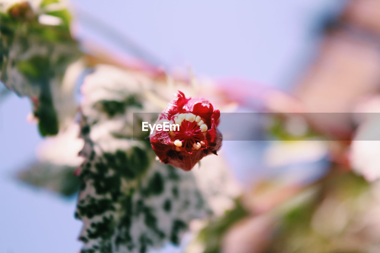 flower, flowering plant, beauty in nature, close-up, freshness, plant, vulnerability, fragility, selective focus, nature, growth, petal, day, red, flower head, inflorescence, no people, focus on foreground, food and drink, outdoors