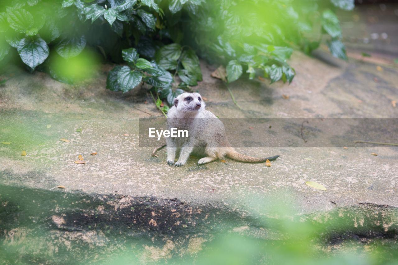 Meerkat sitting on footpath