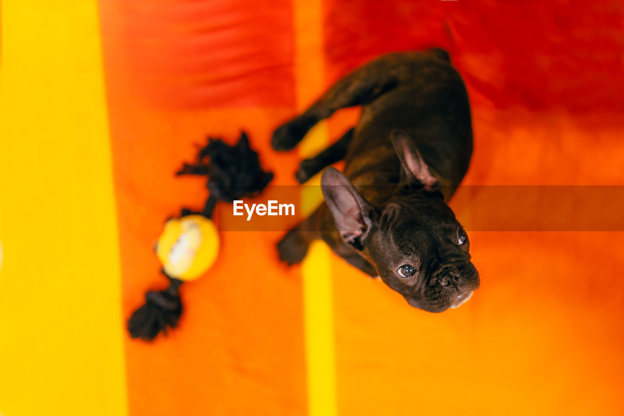 domestic, animal themes, one animal, pets, animal, mammal, domestic animals, canine, dog, orange color, vertebrate, no people, black color, indoors, portrait, french bulldog, looking at camera, small, high angle view, nature, orange background