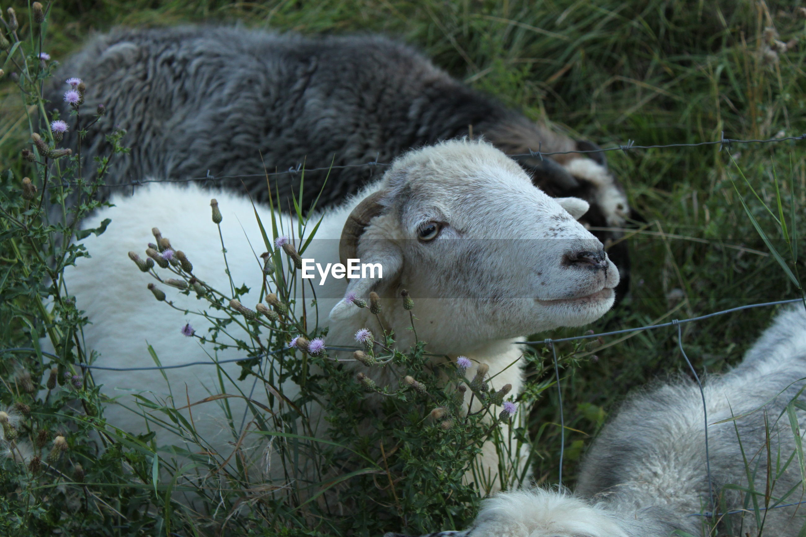 CLOSE-UP OF SHEEP ON LAND