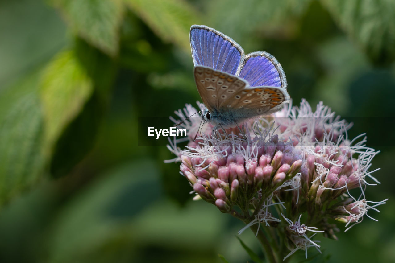 beauty in nature, flower, invertebrate, animal wildlife, animals in the wild, insect, animal themes, flowering plant, plant, one animal, butterfly - insect, animal, animal wing, close-up, growth, fragility, nature, vulnerability, day, no people, flower head, pollination, purple, outdoors, butterfly