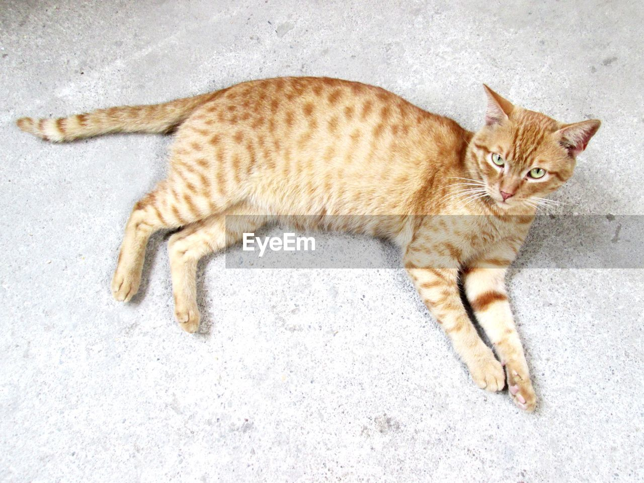 domestic, pets, domestic cat, cat, feline, domestic animals, mammal, one animal, full length, relaxation, vertebrate, no people, high angle view, lying down, portrait, resting, whisker, tabby, ginger cat