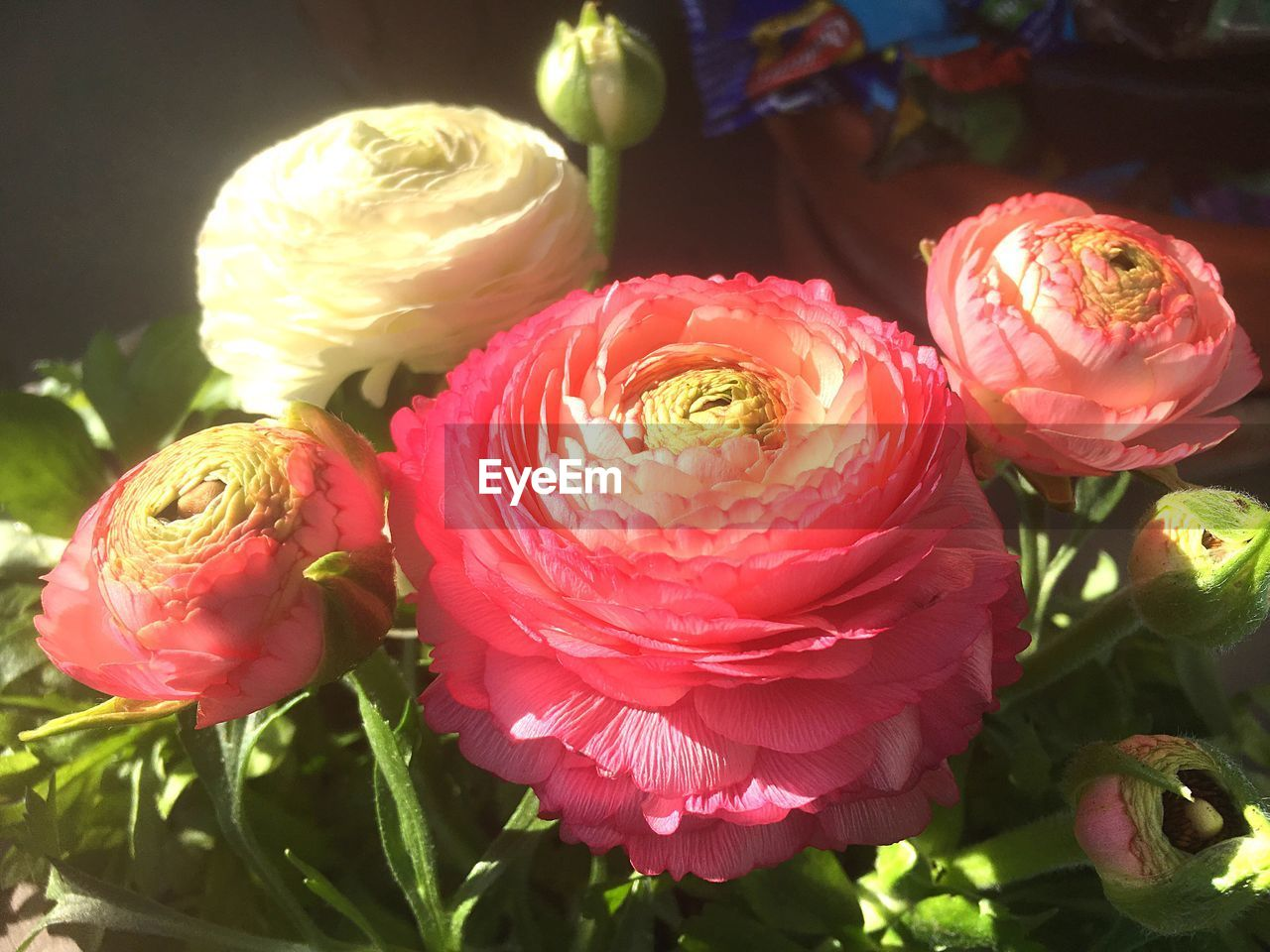 flower, petal, freshness, flower head, fragility, nature, rose - flower, beauty in nature, no people, close-up, day, growth, outdoors