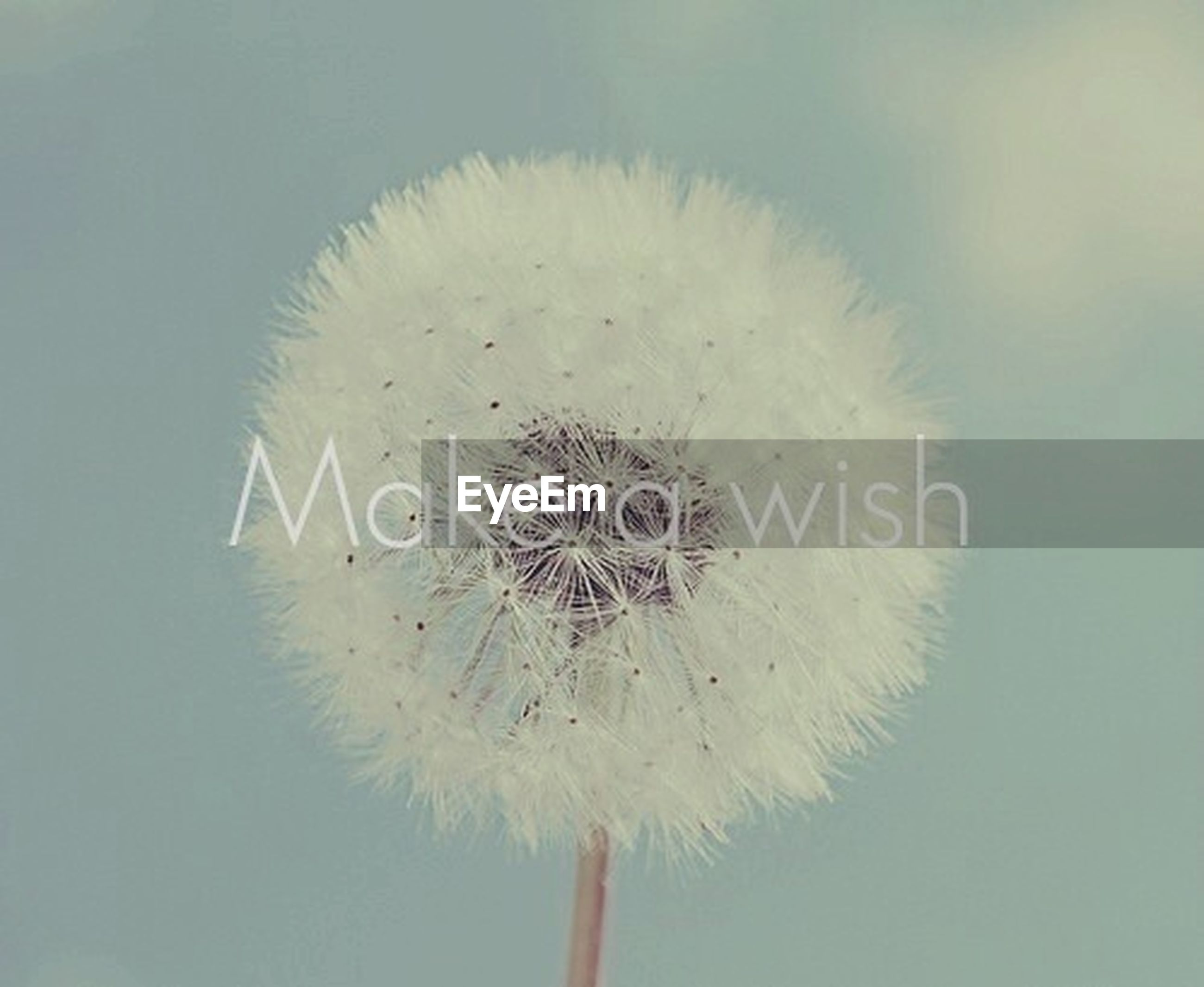 close-up, dandelion, fragility, flower, freshness, white color, single flower, flower head, nature, studio shot, beauty in nature, softness, focus on foreground, single object, no people, white, simplicity, day, stem, outdoors