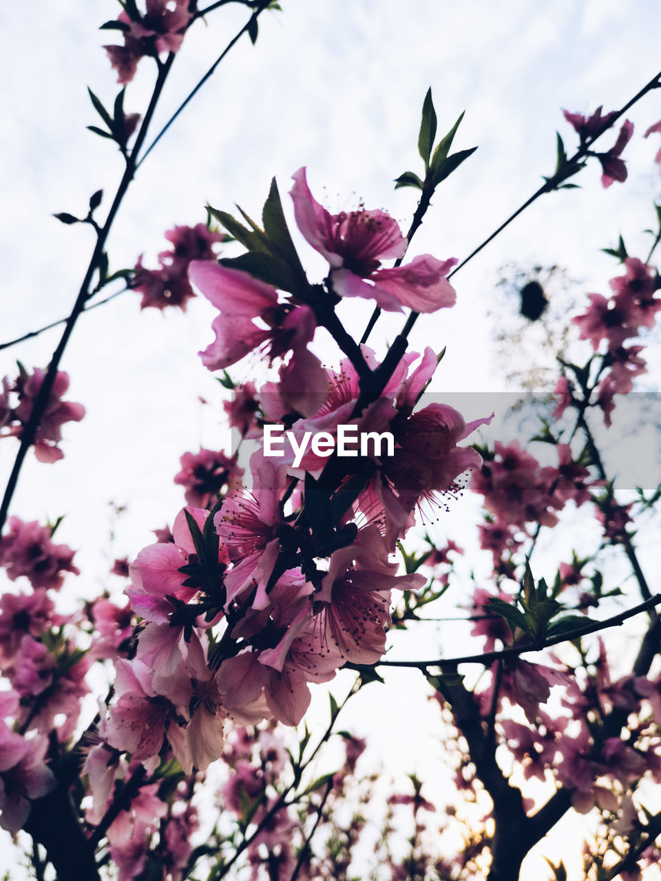 flower, flowering plant, plant, fragility, freshness, growth, pink color, vulnerability, beauty in nature, tree, close-up, nature, blossom, petal, no people, branch, day, springtime, inflorescence, outdoors, flower head, spring, cherry blossom, cherry tree, purple, bunch of flowers, lilac