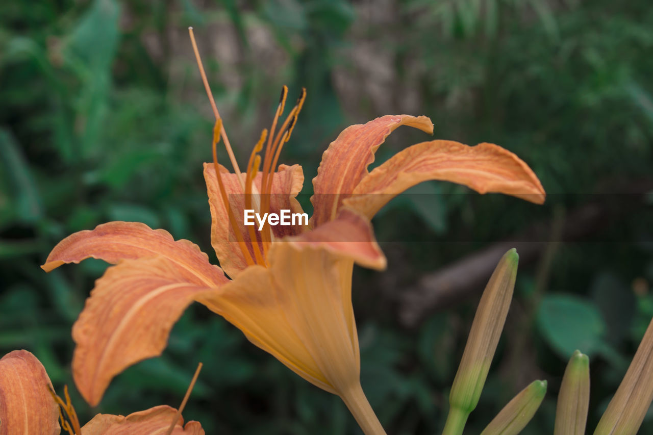 growth, petal, flower, plant, day lily, beauty in nature, fragility, nature, day, focus on foreground, freshness, close-up, flower head, outdoors, blooming, no people