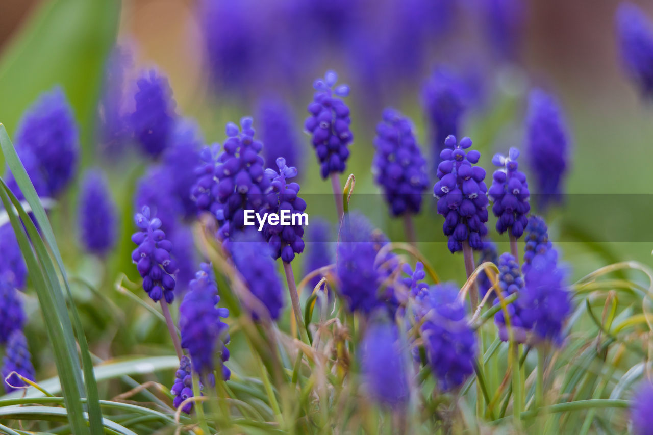 flower, flowering plant, plant, vulnerability, fragility, beauty in nature, freshness, growth, purple, close-up, selective focus, nature, blue, hyacinth, petal, no people, day, field, lavender, inflorescence, flower head, bunch of flowers