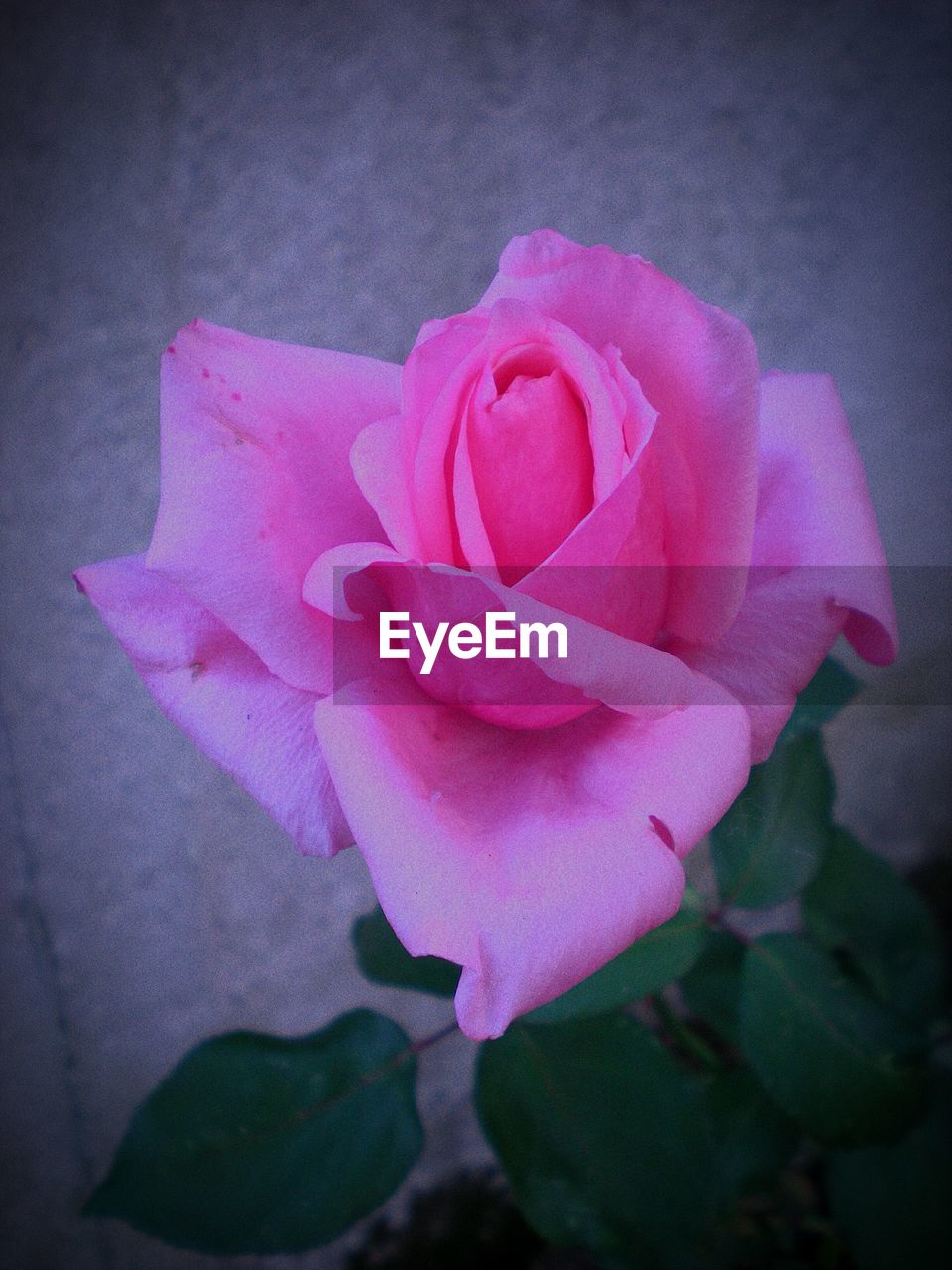 petal, flower, pink color, flower head, no people, rose - flower, nature, beauty in nature, close-up, fragility, freshness, outdoors, day
