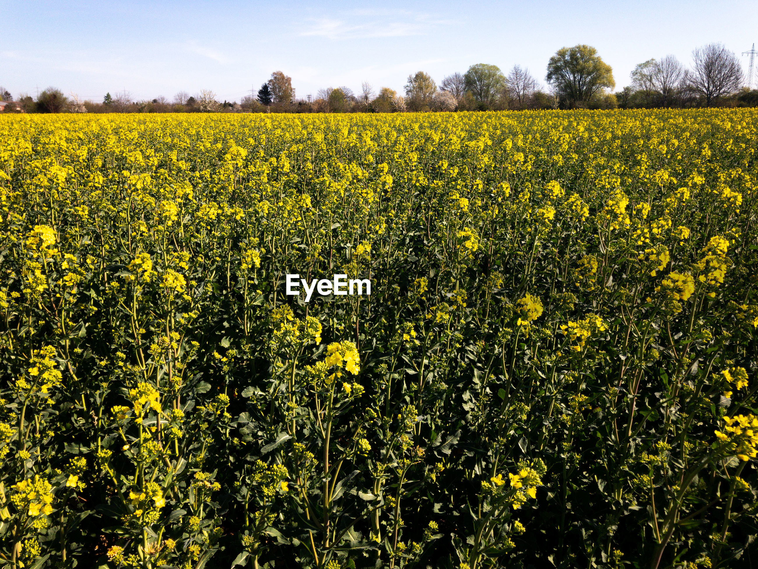 SCENIC VIEW OF OILSEED RAPE FIELD AGAINST YELLOW FLOWERS