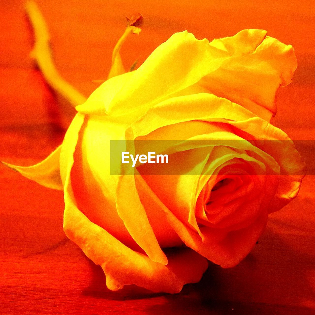 flower, petal, rose - flower, flower head, fragility, beauty in nature, nature, freshness, red, softness, love, no people, close-up, full frame, yellow, beauty, soft focus, backgrounds, indoors