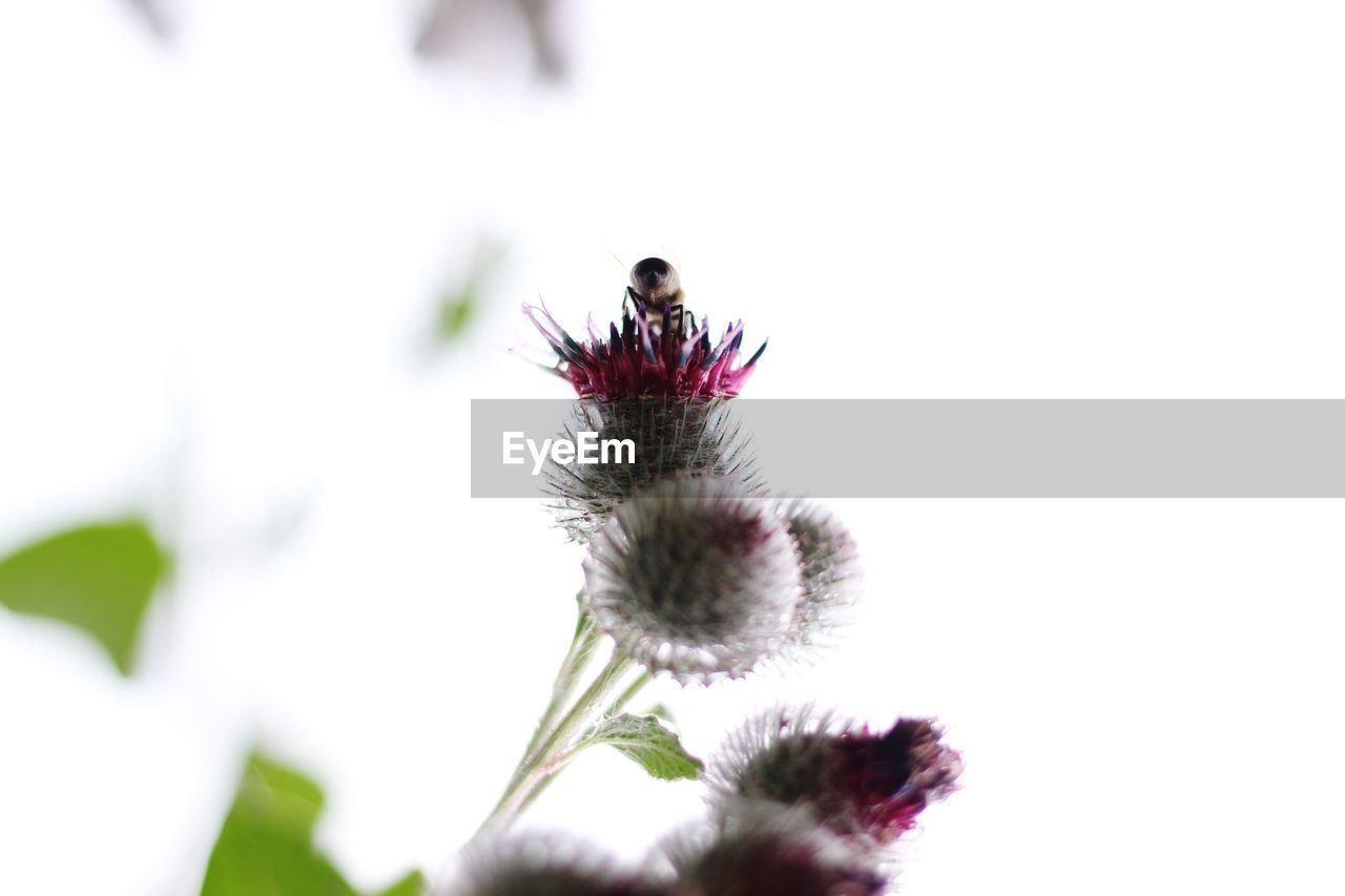 plant, flower, flowering plant, fragility, close-up, vulnerability, growth, nature, animals in the wild, insect, invertebrate, animal wildlife, beauty in nature, selective focus, flower head, no people, freshness, animal, petal, day, outdoors, pollination