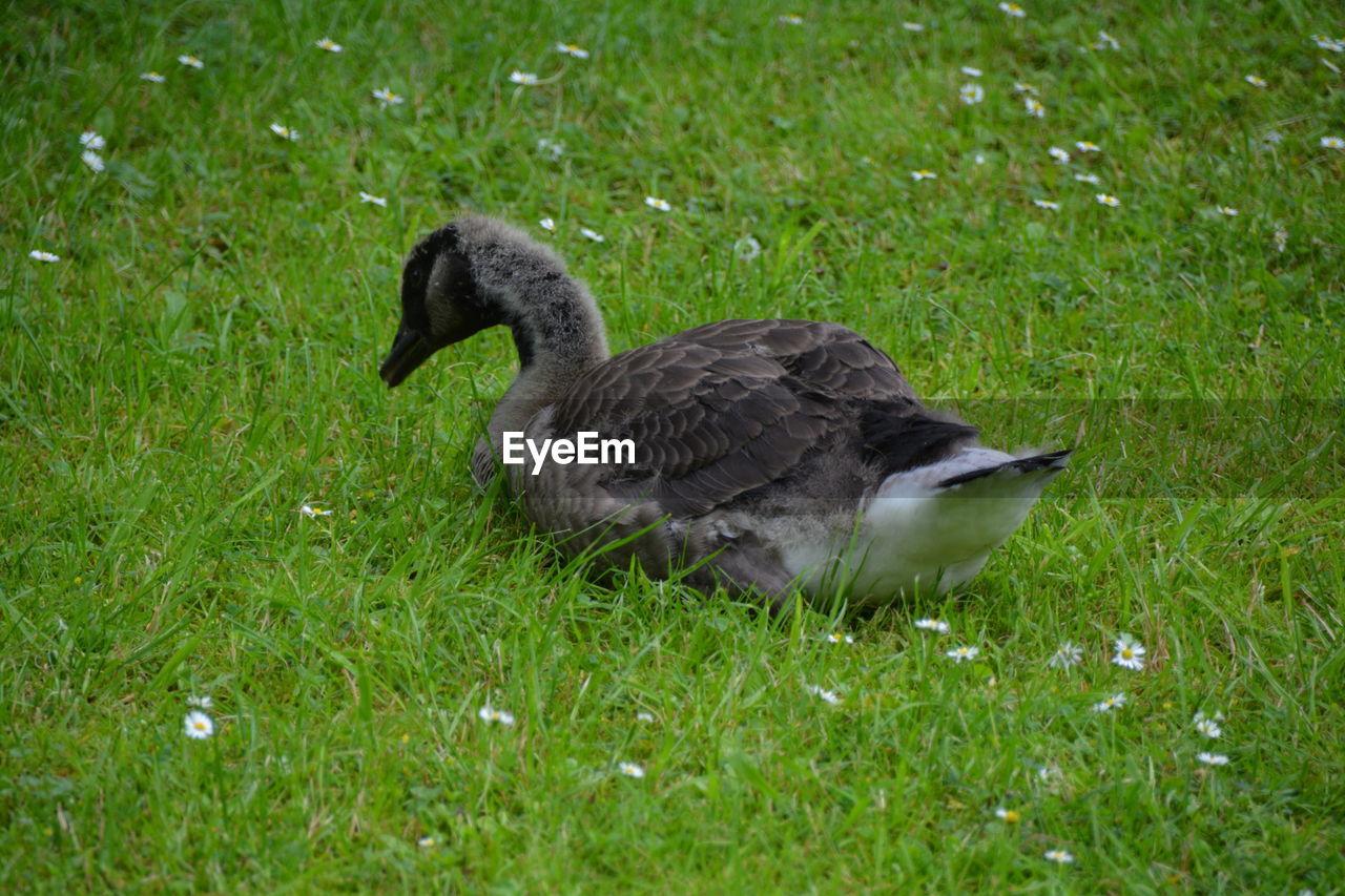 Goose Duck On Grassy Field