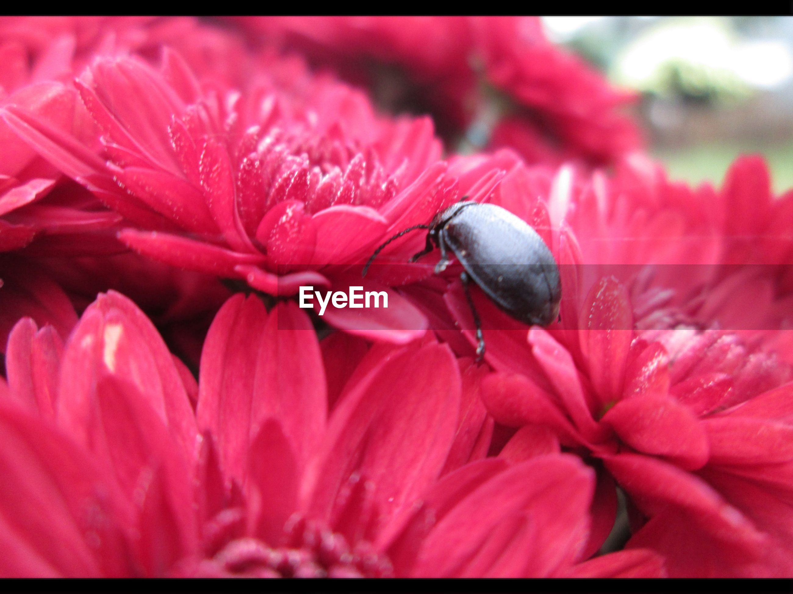 animals in the wild, animal themes, insect, wildlife, one animal, flower, petal, close-up, fragility, beauty in nature, freshness, pollination, nature, flower head, pink color, red, growth, focus on foreground, symbiotic relationship, bee